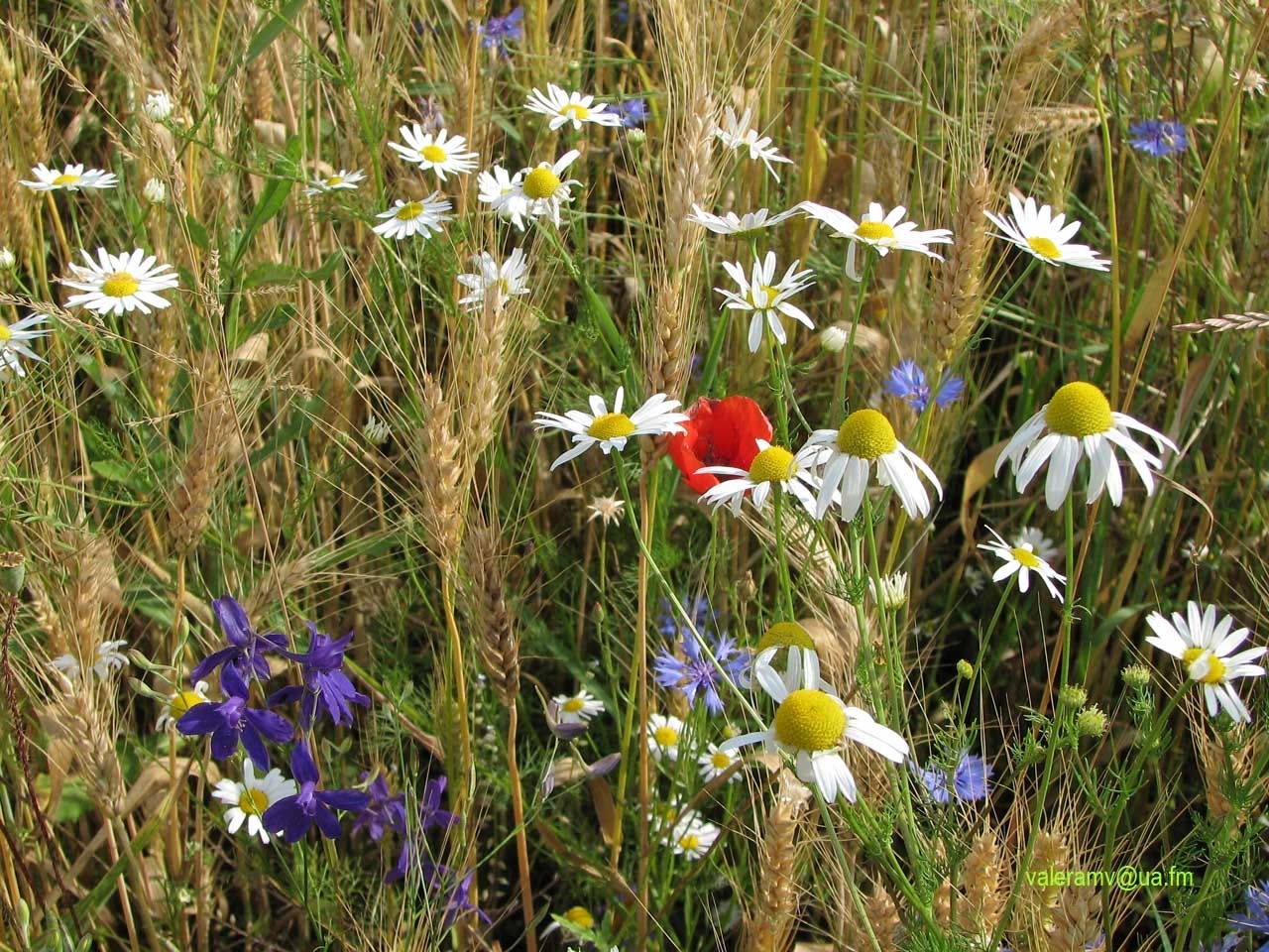 1795 download wallpaper Plants, Flowers, Grass, Poppies, Camomile, Blue Cornflowers screensavers and pictures for free