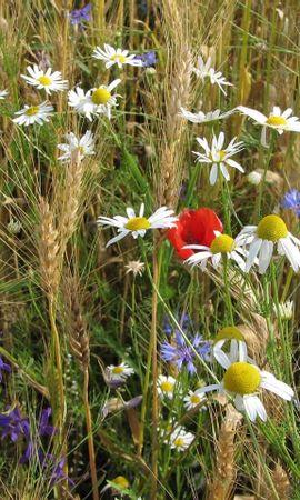 1795 скачать обои Растения, Цветы, Трава, Маки, Ромашки, Васильки - заставки и картинки бесплатно