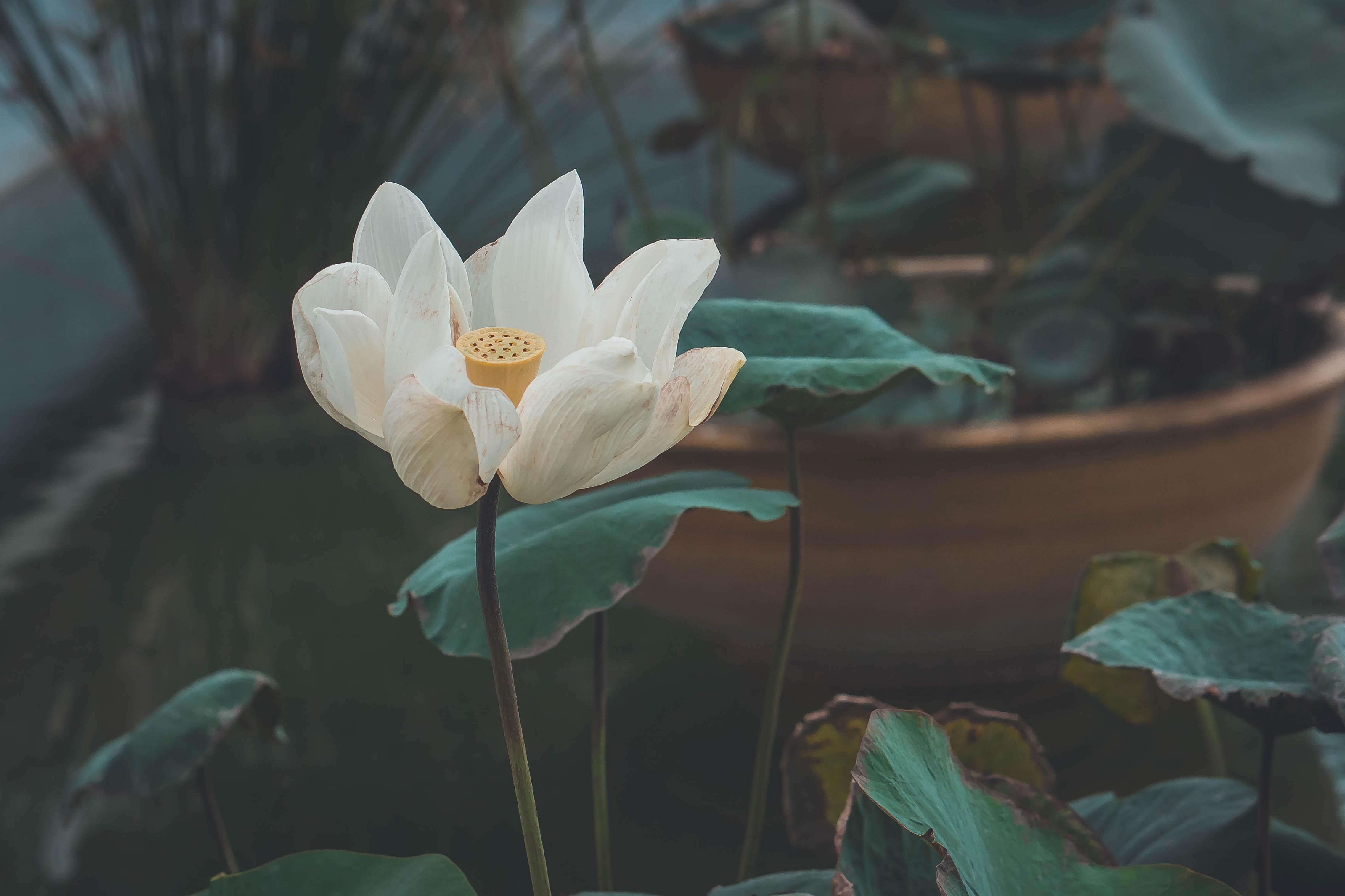 120538 Hintergrundbild herunterladen Blumen, Lotus, Blume, Blütenblätter, Knospe, Bud, Blühen, Blühenden - Bildschirmschoner und Bilder kostenlos