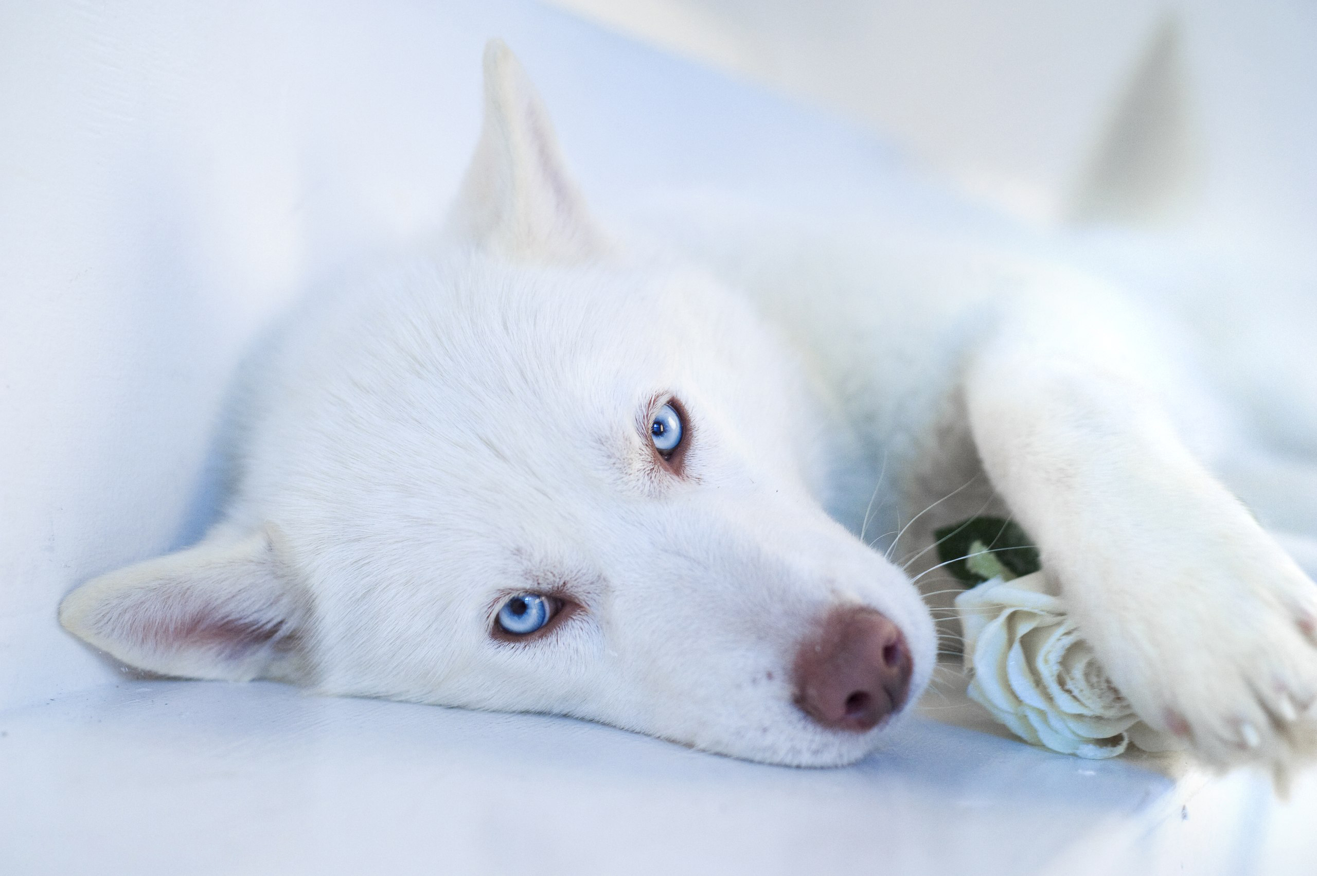 54851 Screensavers and Wallpapers Husky for phone. Download Husky, Animals, Dog, Muzzle, Blue Eyed, Blue-Eyed pictures for free