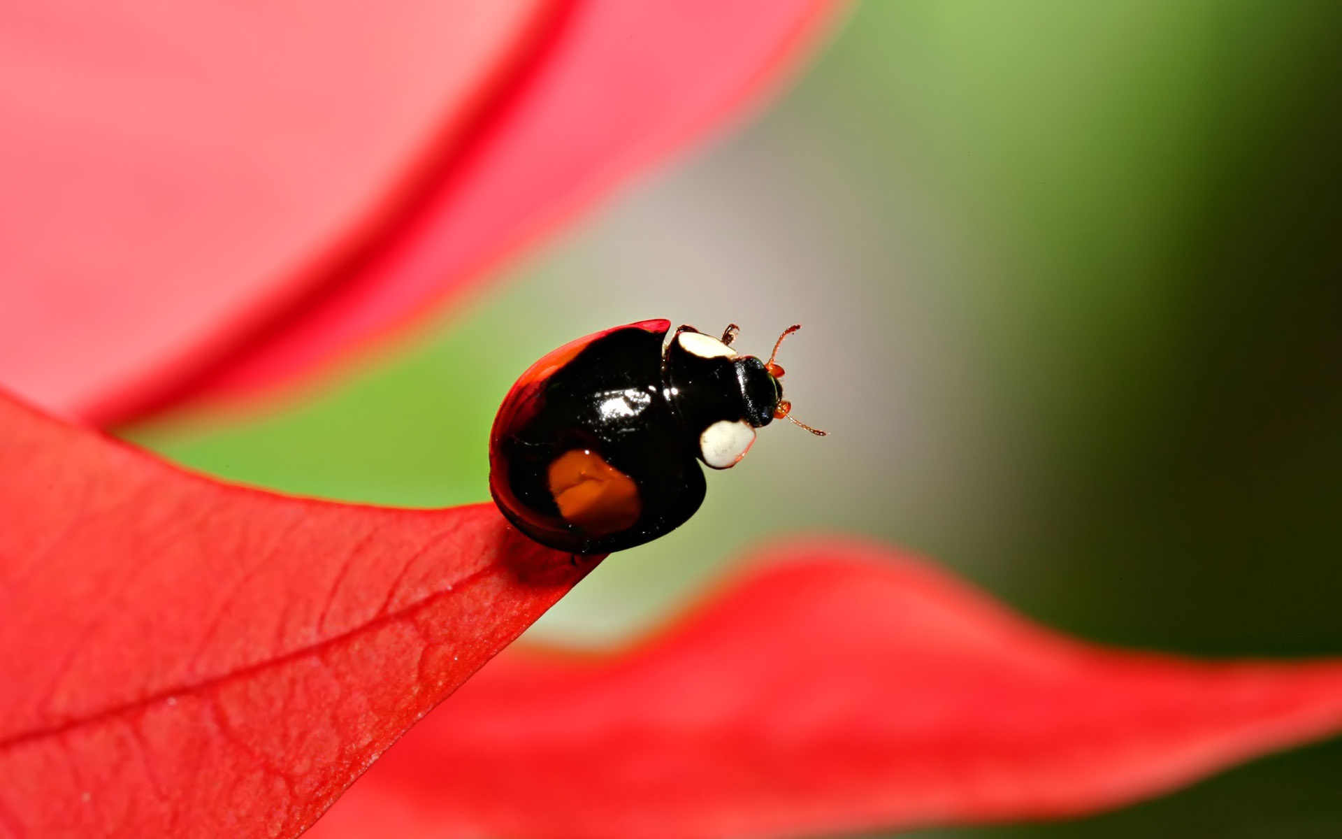 40953 download wallpaper Insects, Ladybugs screensavers and pictures for free