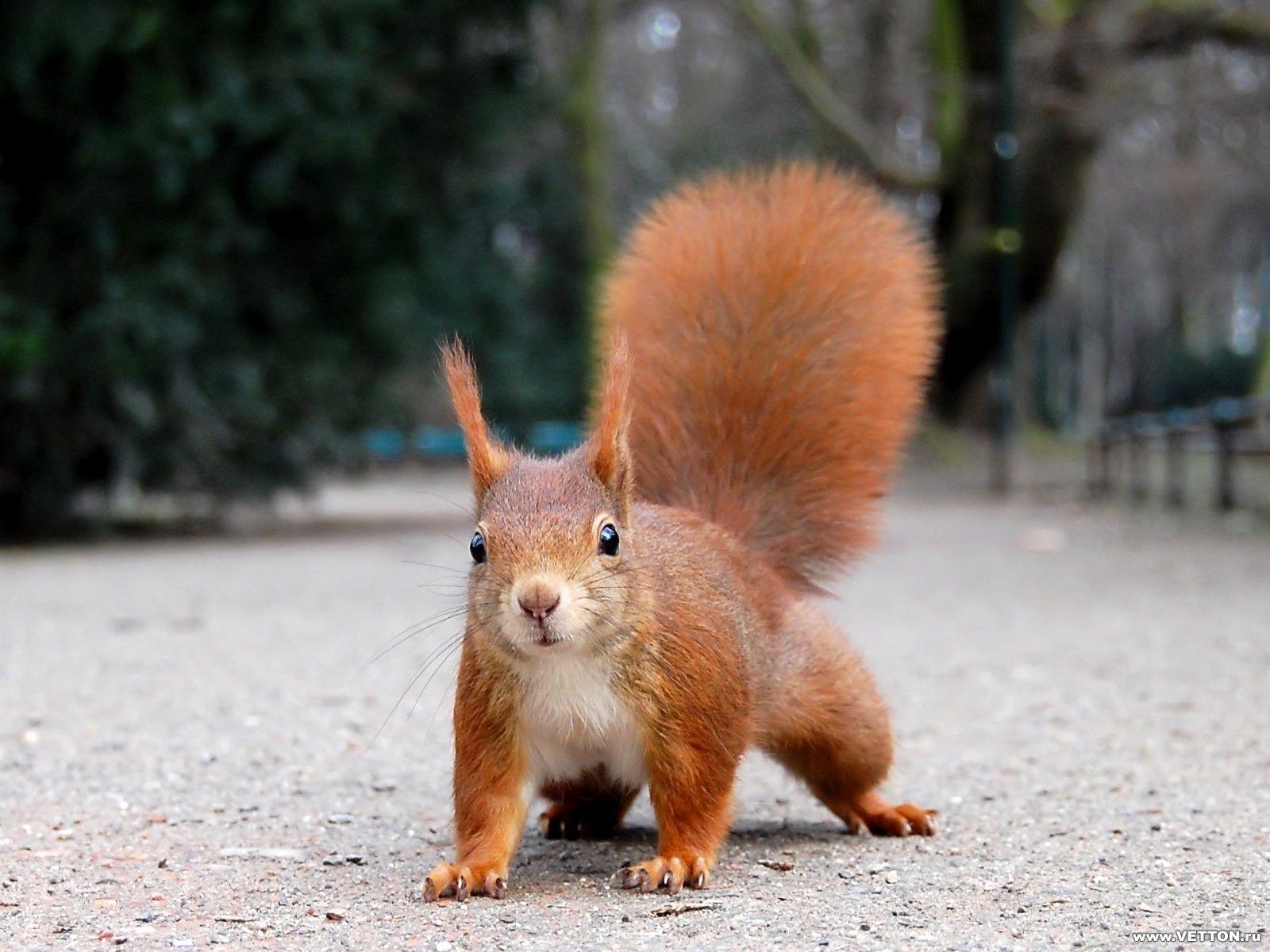 6294 Hintergrundbild herunterladen Tiere, Eichhörnchen, Nagetiere - Bildschirmschoner und Bilder kostenlos