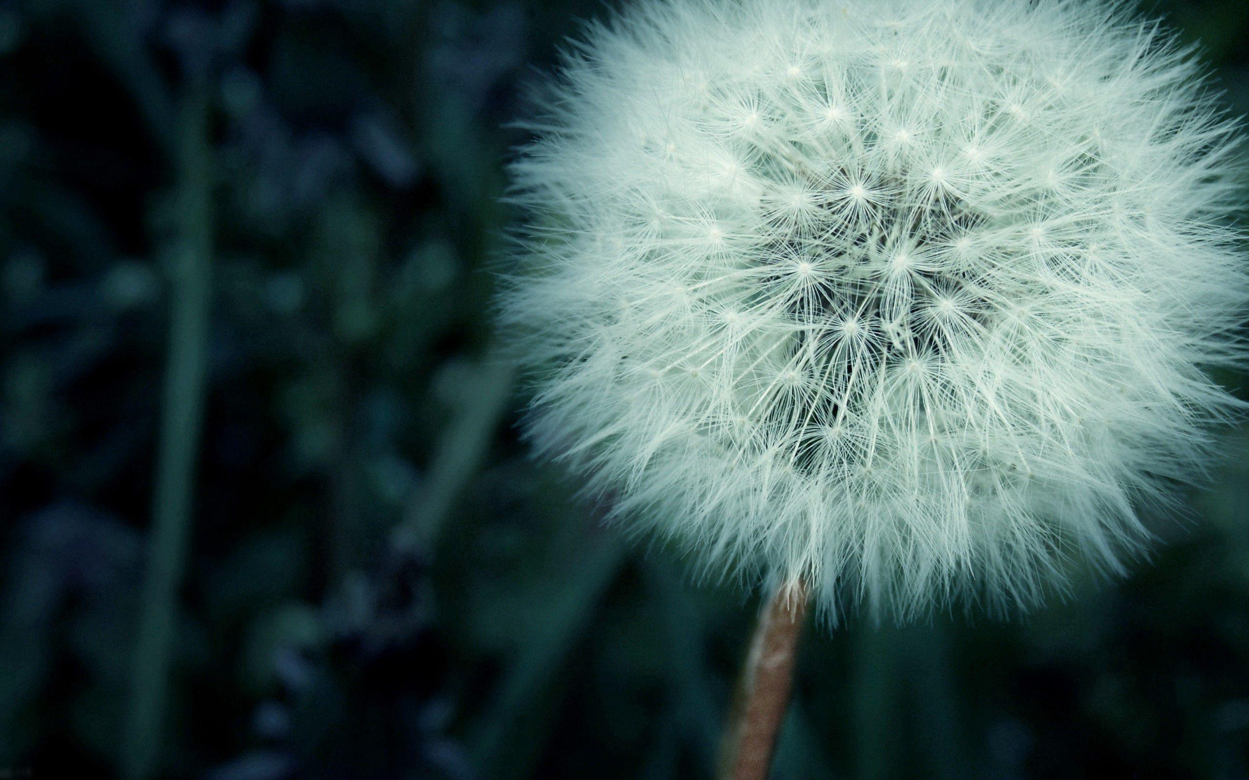 105418 Hintergrundbild herunterladen Löwenzahn, Blume, Makro, Flaum, Fuzz - Bildschirmschoner und Bilder kostenlos