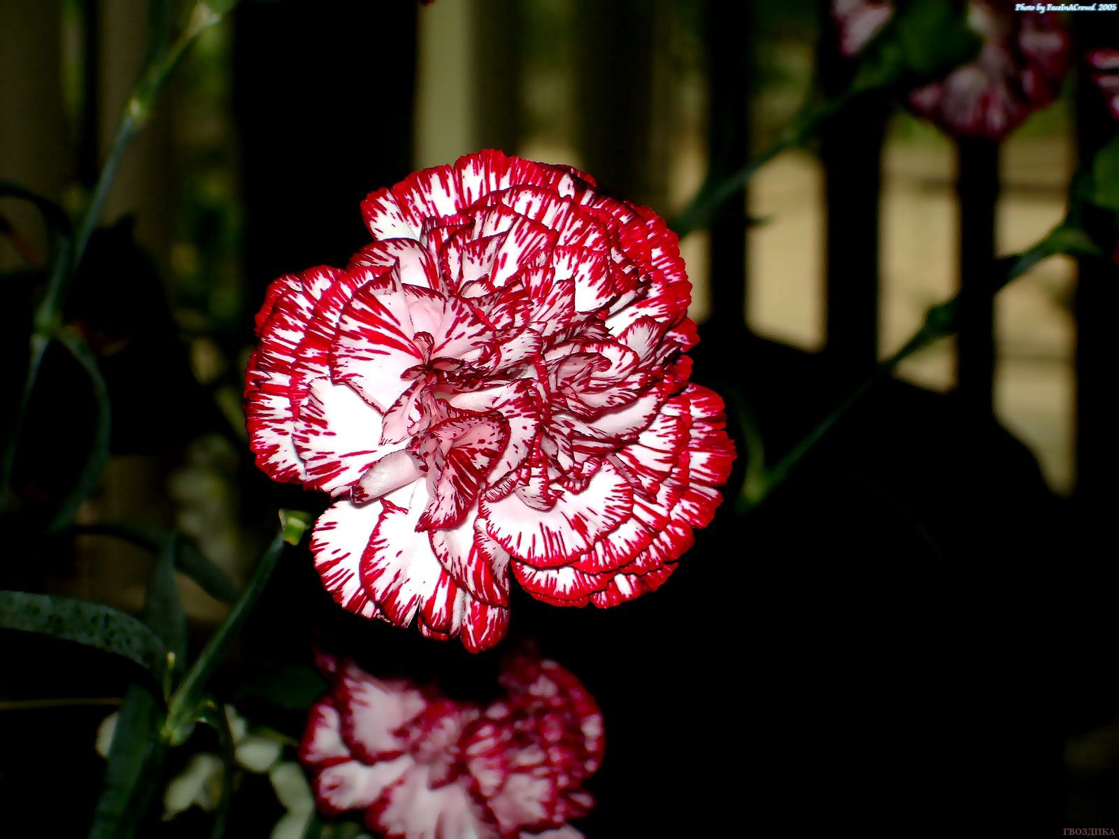 98393 скачать обои Цветы, Гвоздики, Крупный План, Пестрые - заставки и картинки бесплатно