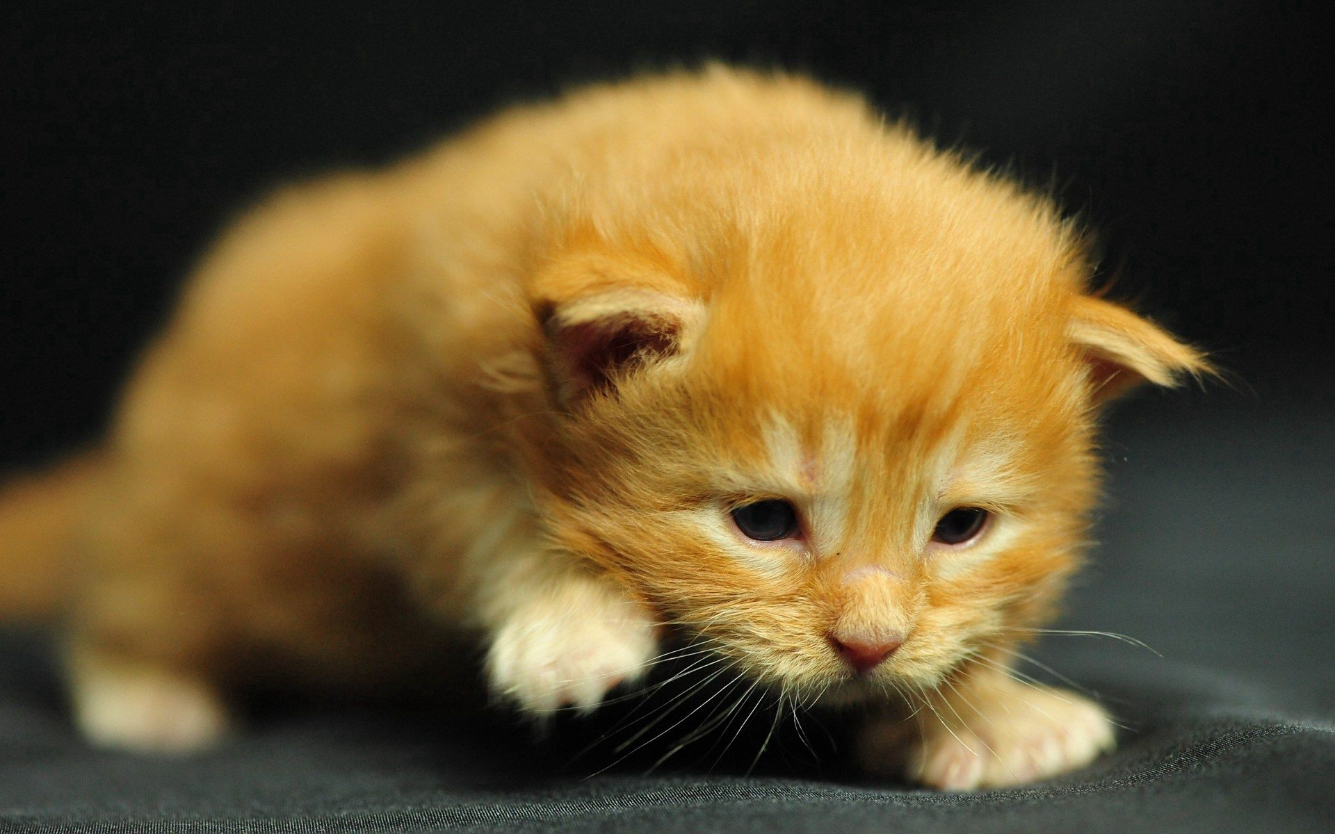 149603 download wallpaper Animals, Kitty, Kitten, Kid, Tot, Striped, Stroll screensavers and pictures for free