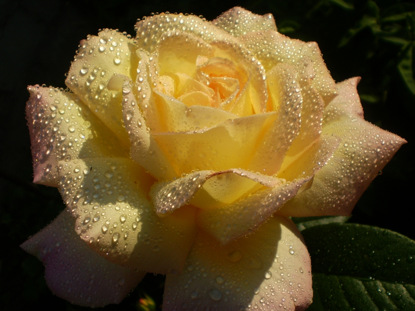 27247 download wallpaper Plants, Flowers, Roses, Drops screensavers and pictures for free