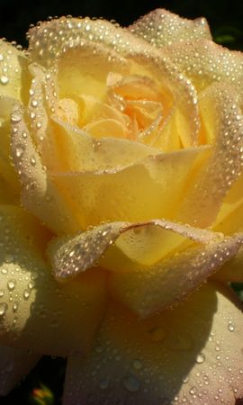 27247 скачать обои Растения, Цветы, Розы, Капли - заставки и картинки бесплатно