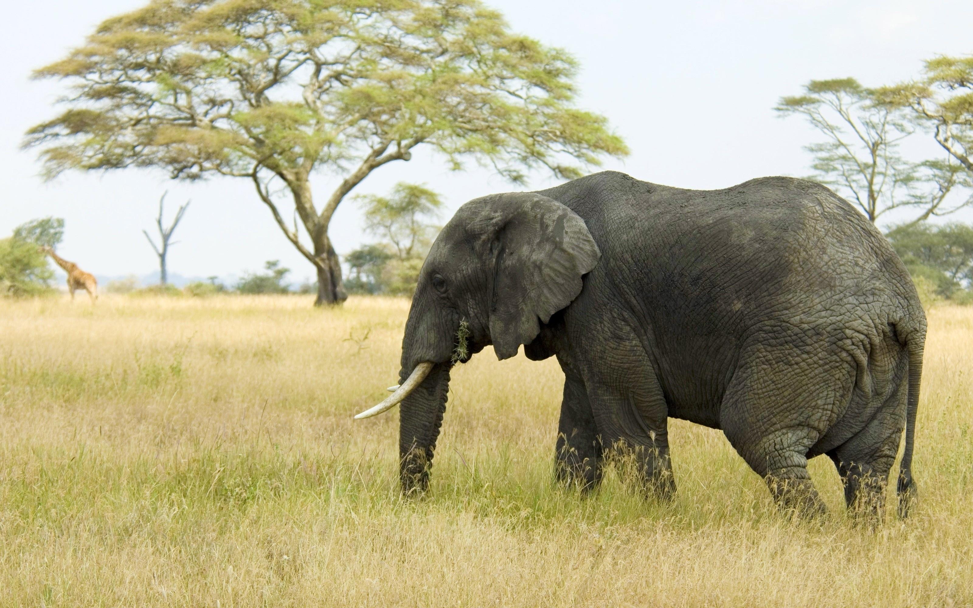 Скачать картинку Трава, Саванна, Слон, Животные, Деревья, Природа в телефон бесплатно.