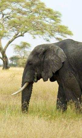 107247 скачать обои Животные, Слон, Саванна, Трава, Природа, Деревья - заставки и картинки бесплатно