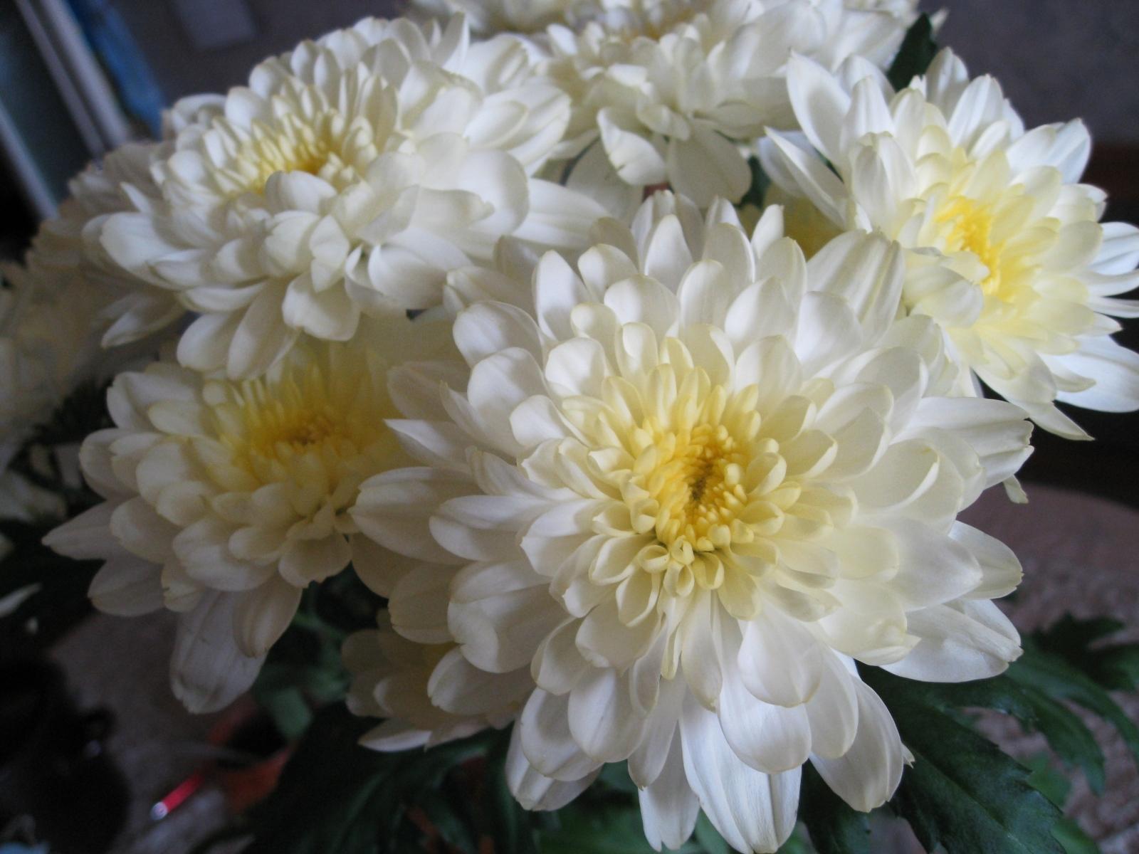 5984 скачать обои Растения, Цветы, Хризантемы - заставки и картинки бесплатно