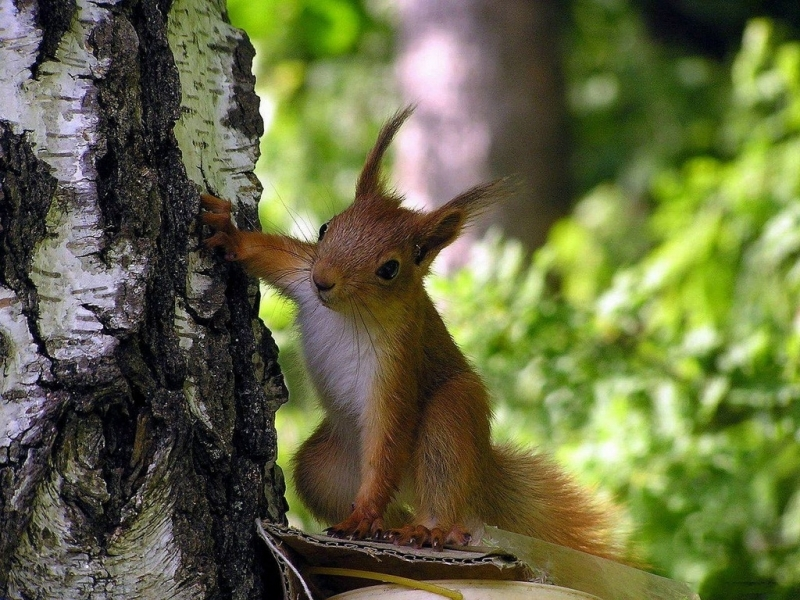44672 download wallpaper Animals, Squirrel screensavers and pictures for free