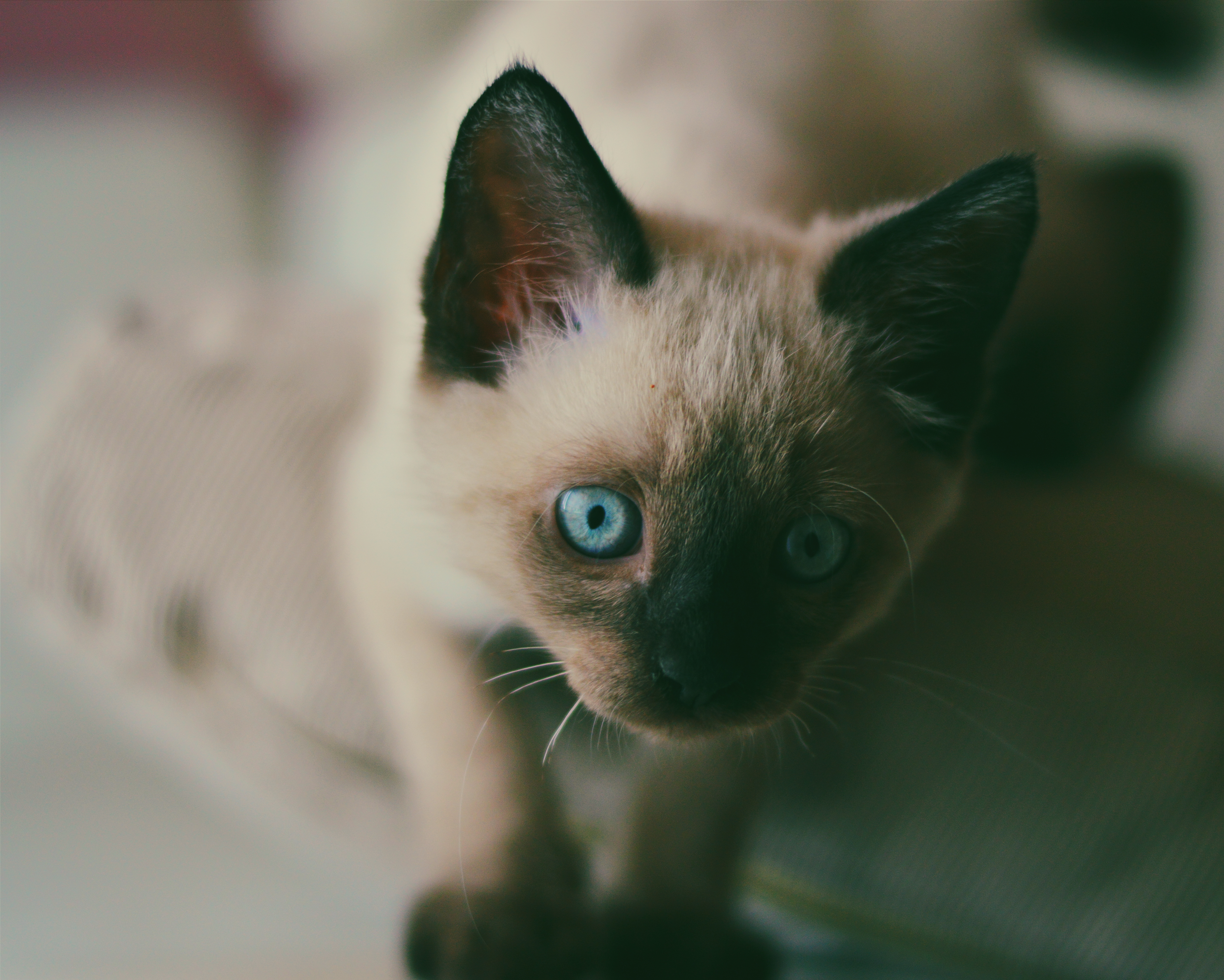 105798 download wallpaper Animals, Kitty, Kitten, Siamese, Muzzle, Blue Eyed, Blue-Eyed screensavers and pictures for free