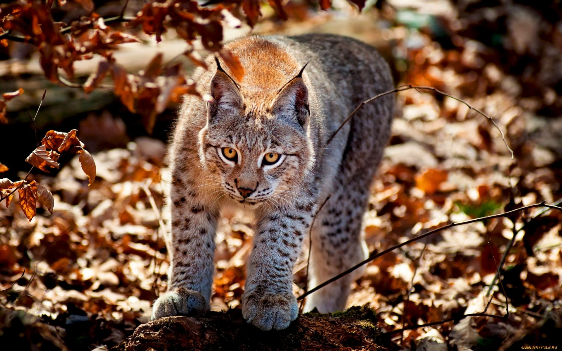 27363 download wallpaper Animals, Bobcats screensavers and pictures for free