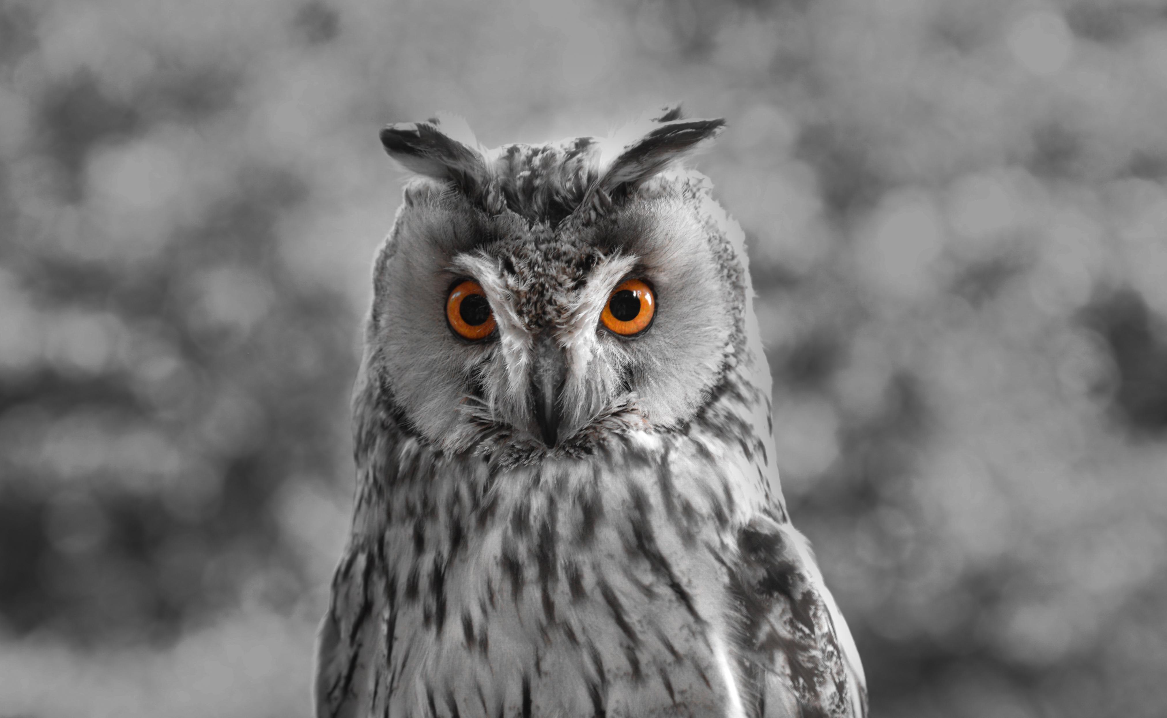 137593 Hintergrundbild herunterladen Eule, Tiere, Vogel, Schnabel, Raubtier, Predator, Bw, Chb - Bildschirmschoner und Bilder kostenlos