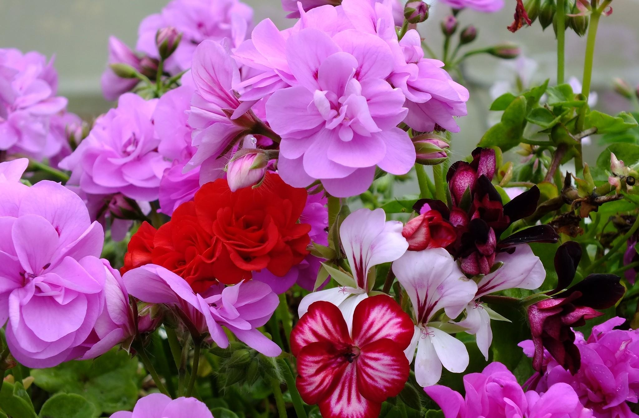 138985 download wallpaper Flowers, Geranium, Bloom, Flowering, Bright, Close-Up screensavers and pictures for free