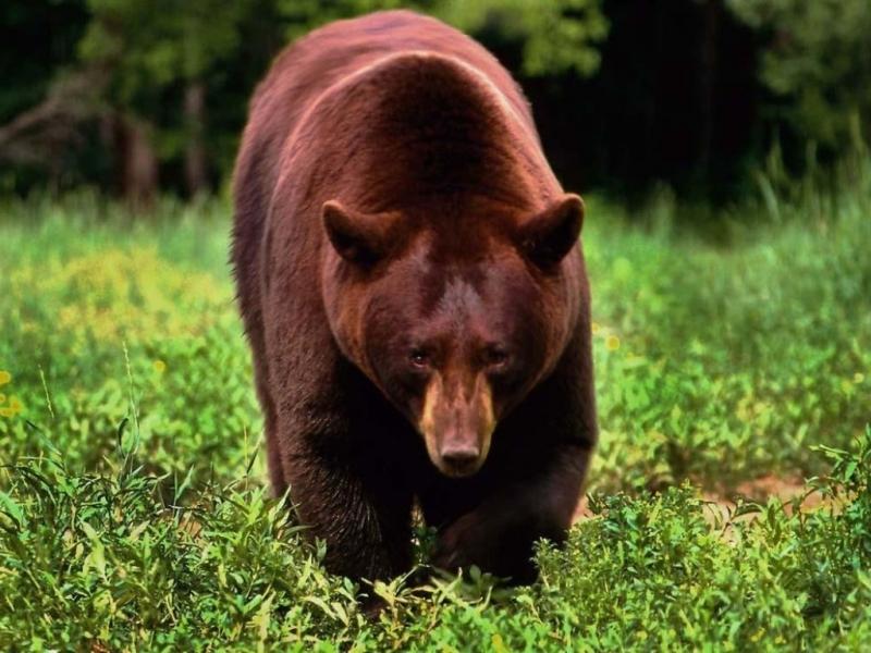 40156 Заставки и Обои Медведи на телефон. Скачать Животные, Медведи картинки бесплатно