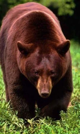 40156 baixar papel de parede Animais, Bears - protetores de tela e imagens gratuitamente