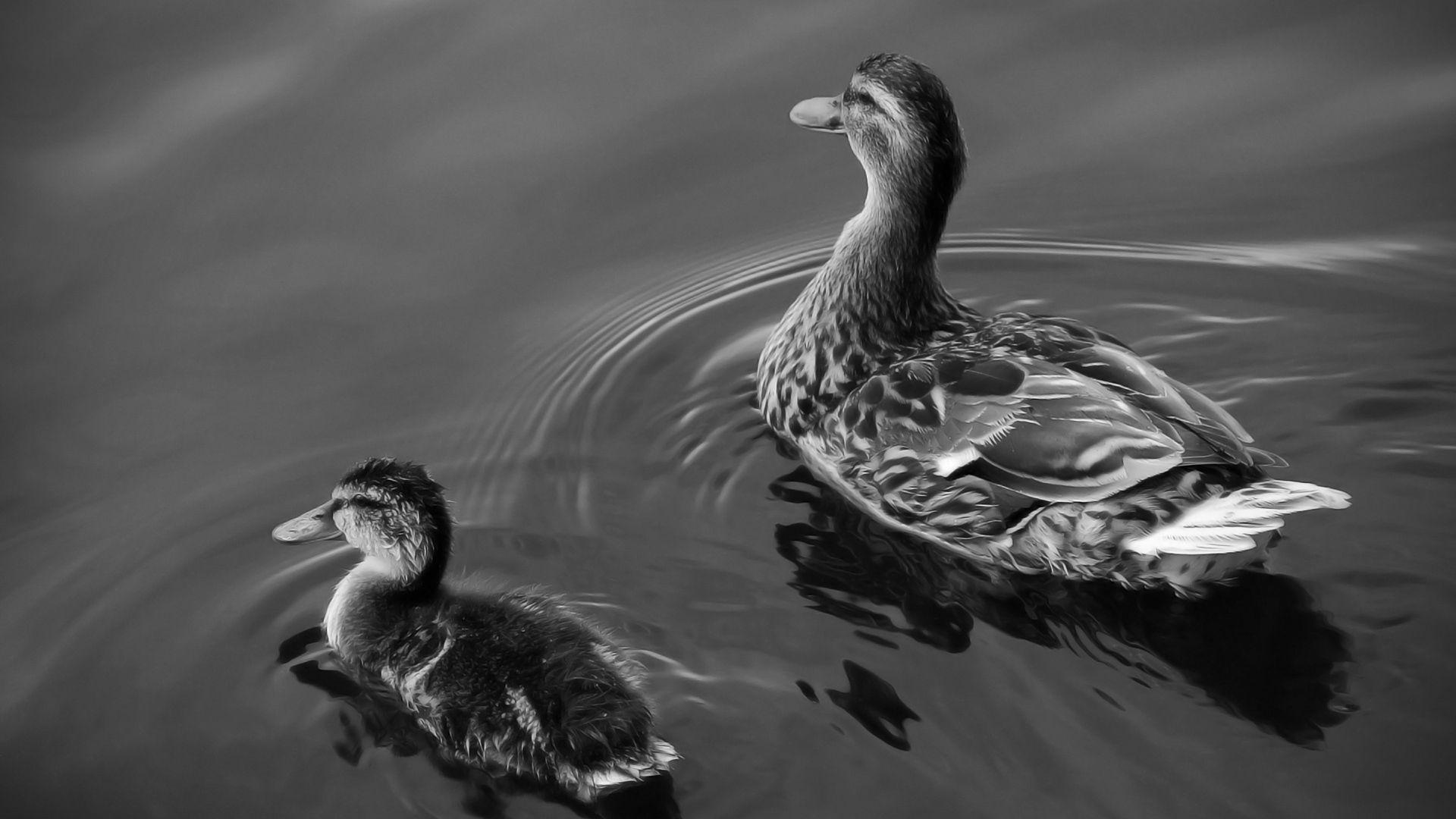 111443 скачать обои Животные, Вода, Утки, Птица, Плавать, Семейство - заставки и картинки бесплатно