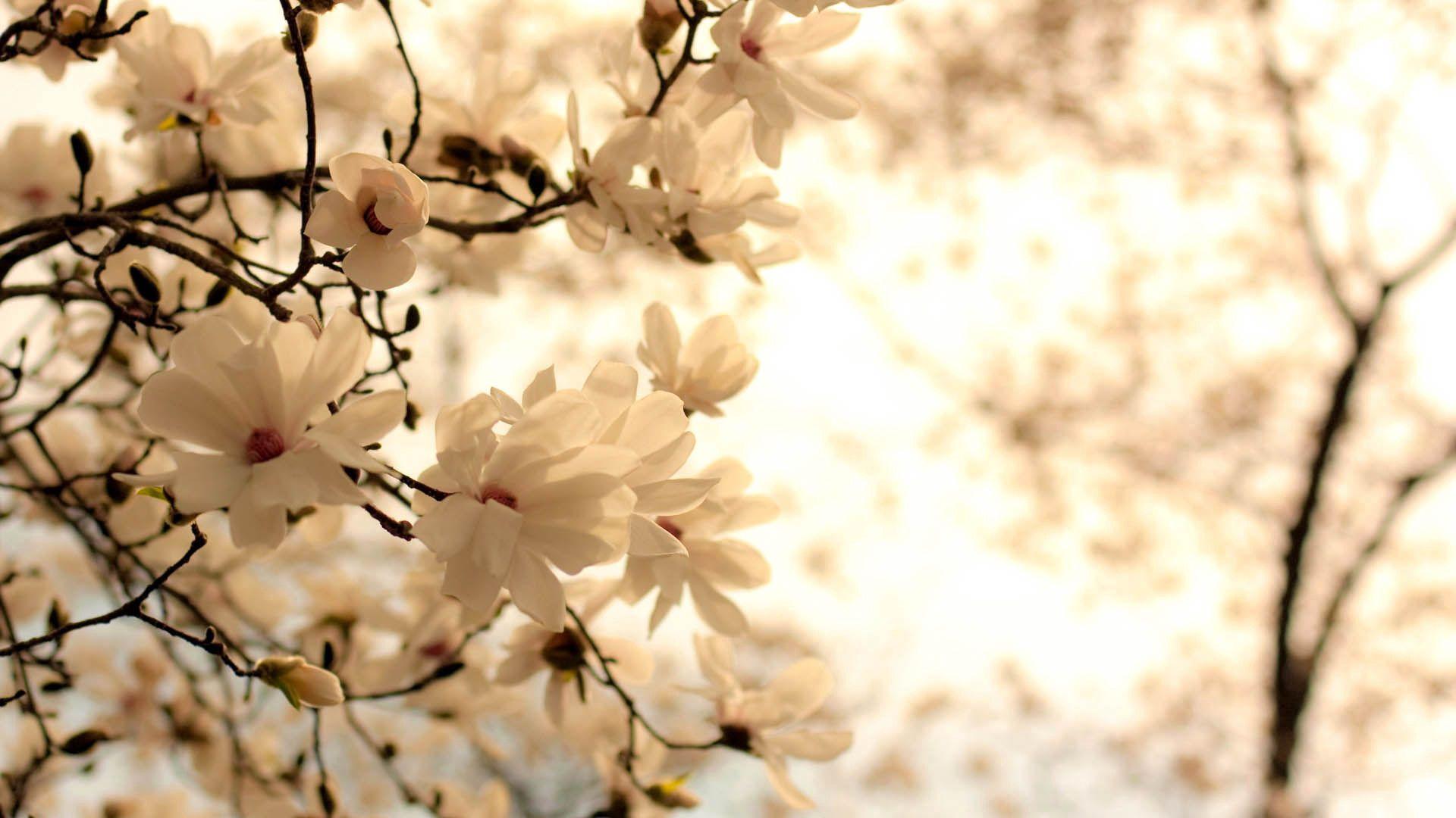 59890 скачать обои Цветы, Цветение, Ветка, Белый - заставки и картинки бесплатно