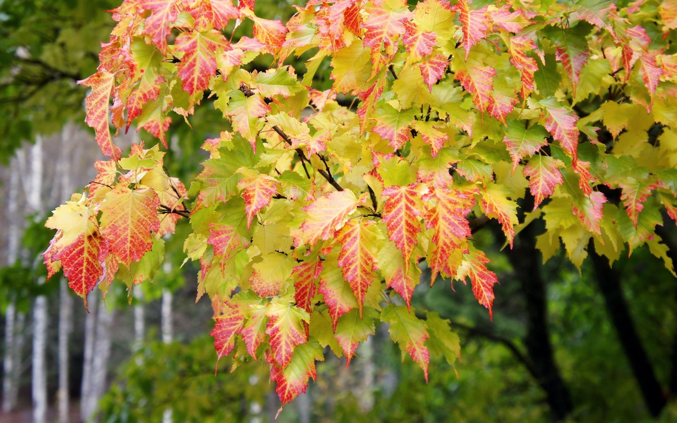Handy-Wallpaper Pflanzen, Bäume, Herbst, Blätter kostenlos herunterladen.