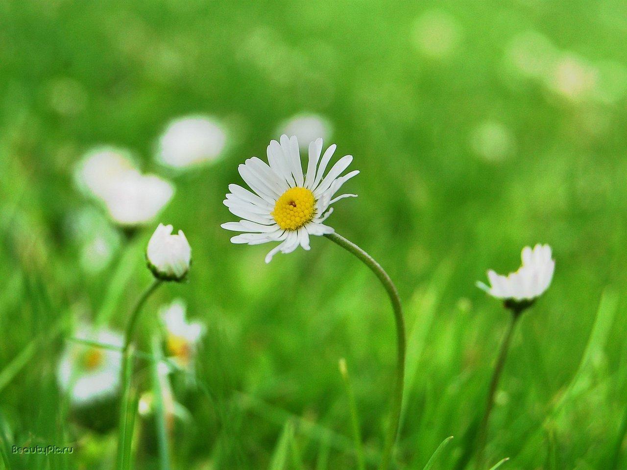 9953 descargar fondo de pantalla Plantas, Flores, Camomila: protectores de pantalla e imágenes gratis