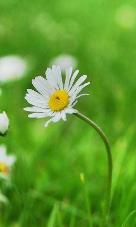 9953 скачать обои Растения, Цветы, Ромашки - заставки и картинки бесплатно