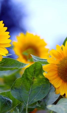 40660 télécharger le fond d'écran Plantes, Fleurs, Tournesols - économiseurs d'écran et images gratuitement