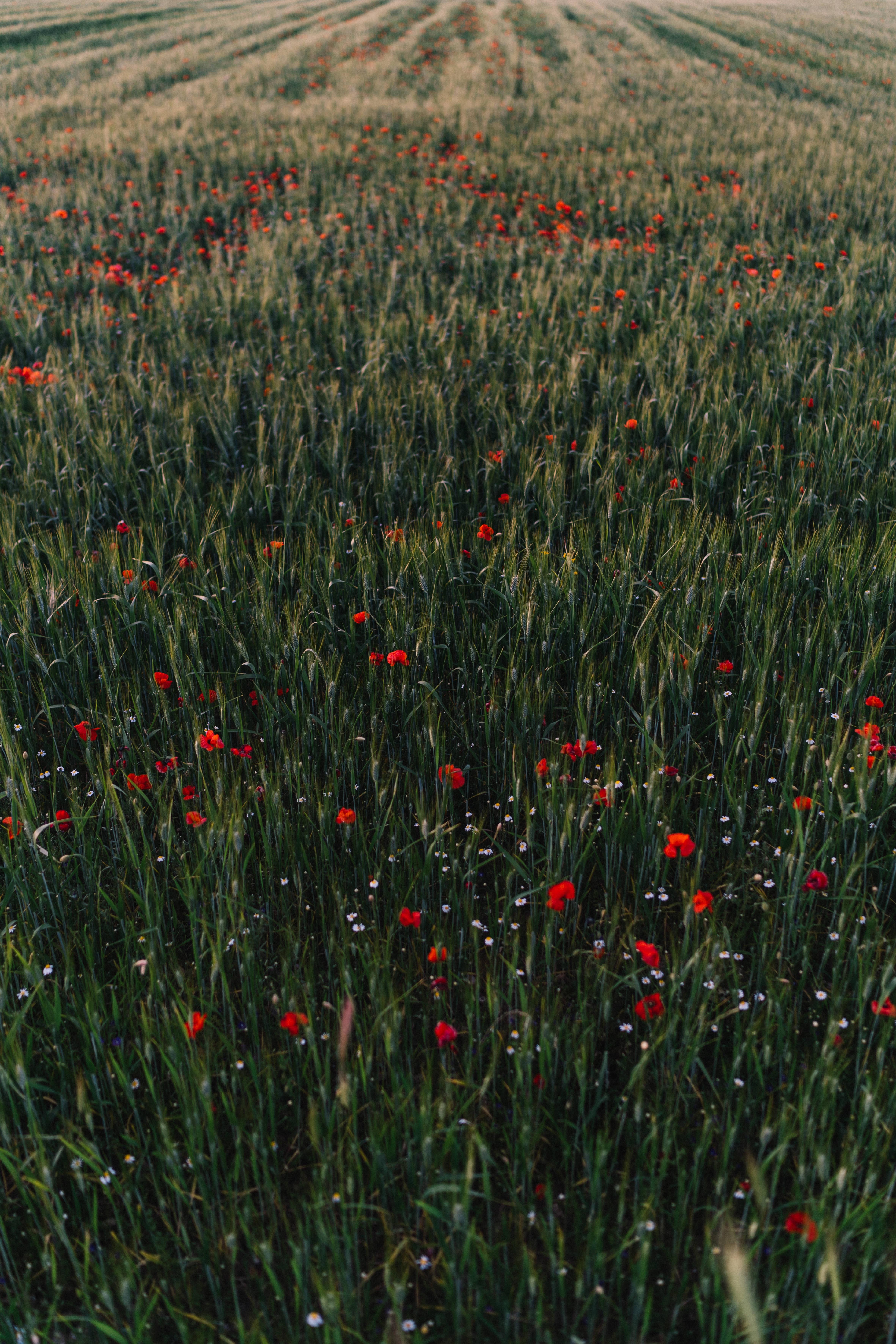 103906 скачать обои Природа, Маки, Поле, Трава, Цветы - заставки и картинки бесплатно