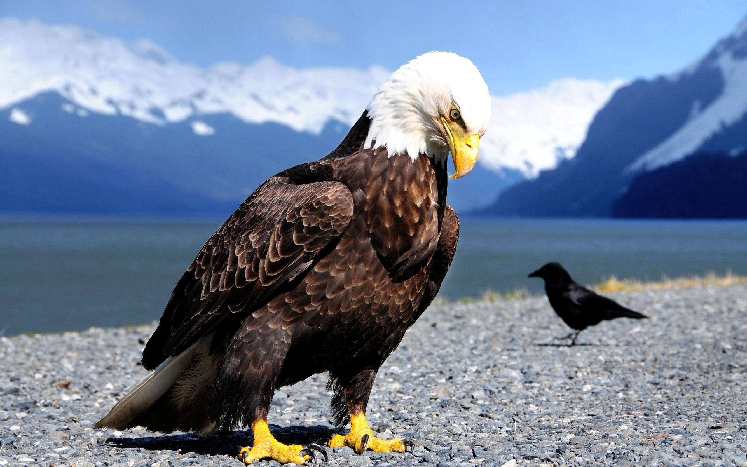 90010 descargar fondo de pantalla Animales, Águila, Cuervo, Orilla, Banco, Depredador, Birds: protectores de pantalla e imágenes gratis