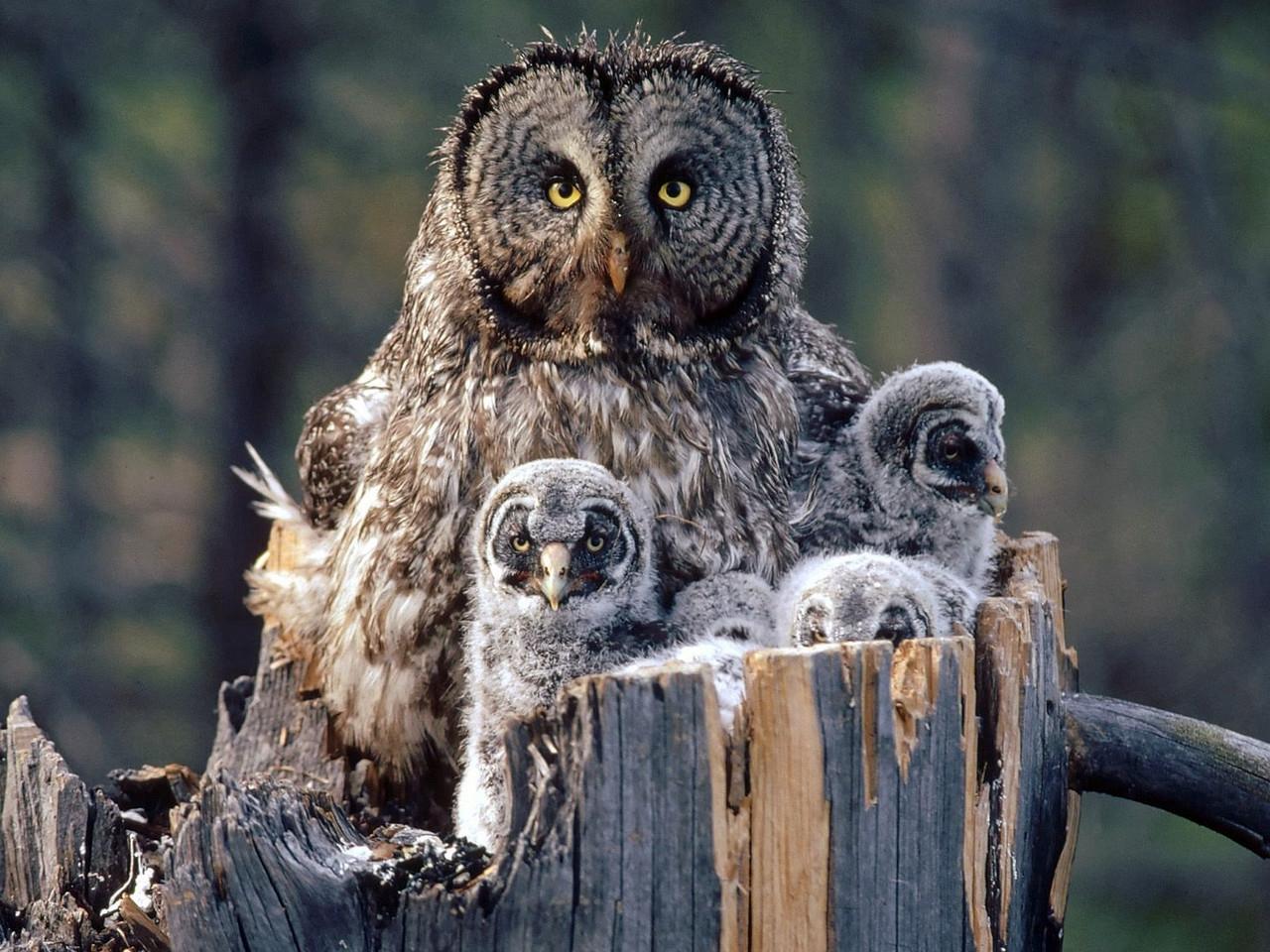 36379 скачать обои Животные, Птицы, Совы - заставки и картинки бесплатно