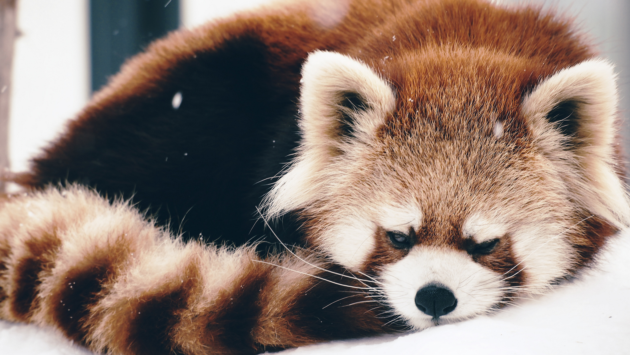 Download mobile wallpaper Animals, Panda, Red Panda, Fluffy, To Lie Down, Lie for free.
