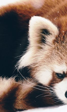 128300 download wallpaper Animals, Red Panda, Panda, Fluffy, To Lie Down, Lie screensavers and pictures for free