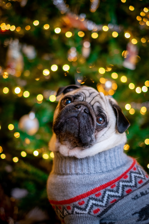 124854 Salvapantallas y fondos de pantalla Año Nuevo en tu teléfono. Descarga imágenes de Animales, Doguillo, Pug, Perro, Lindo, Querido, Árbol De Navidad, Año Nuevo gratis