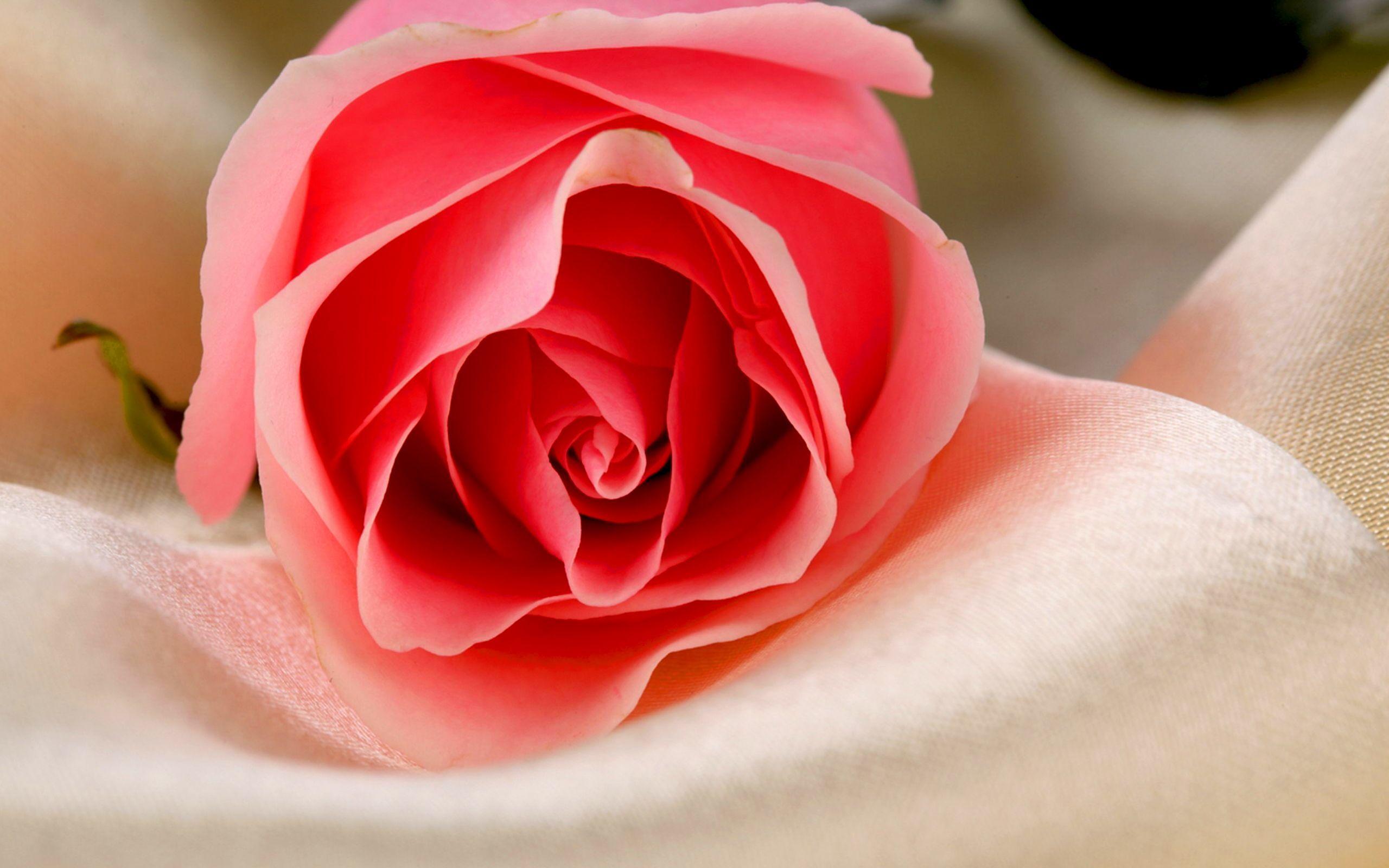 48542 скачать обои Растения, Цветы, Розы - заставки и картинки бесплатно