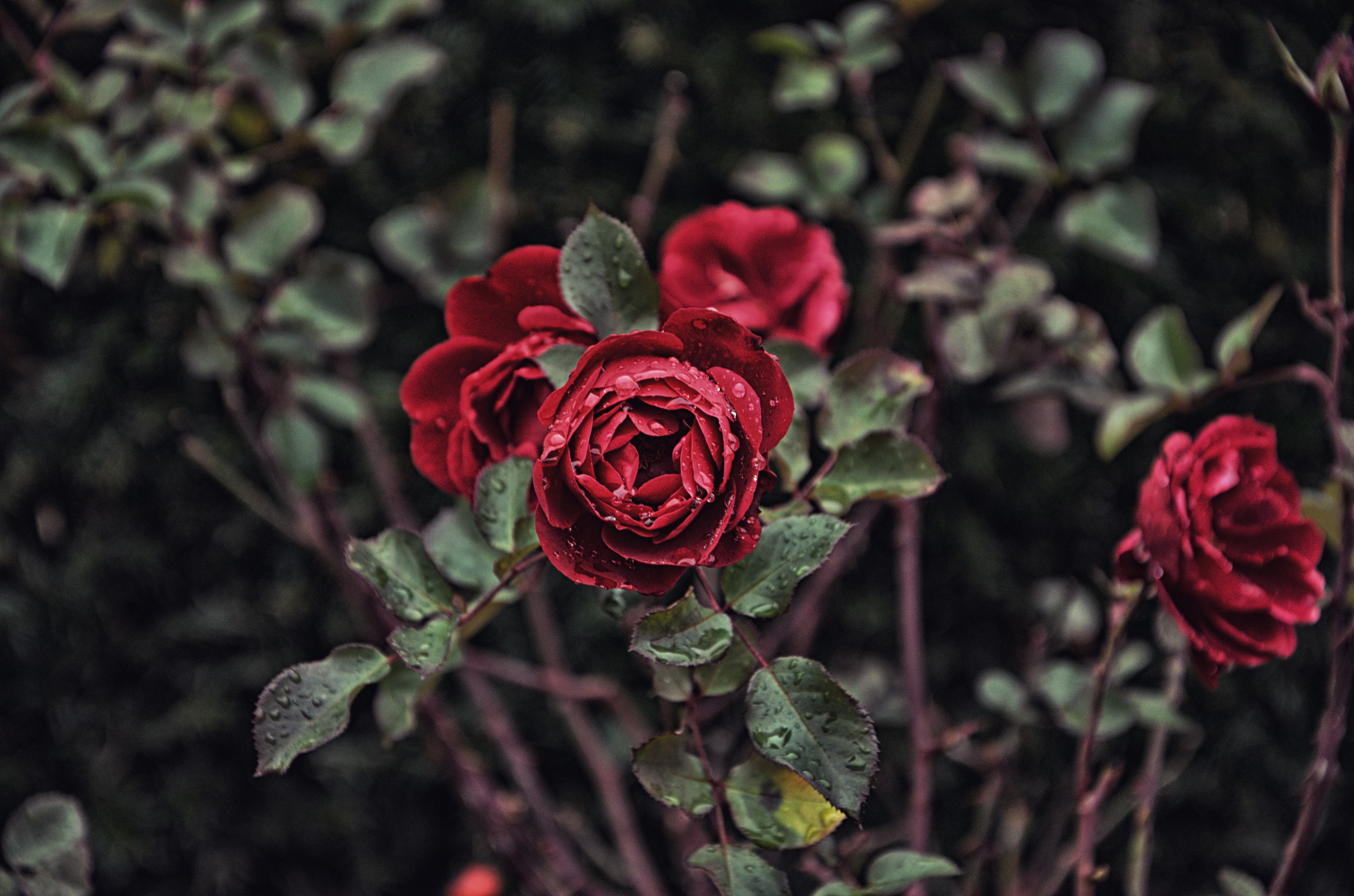 82248 download wallpaper Flowers, Drops, Bush, Rose Flower, Rose, Bud, Blur, Smooth screensavers and pictures for free