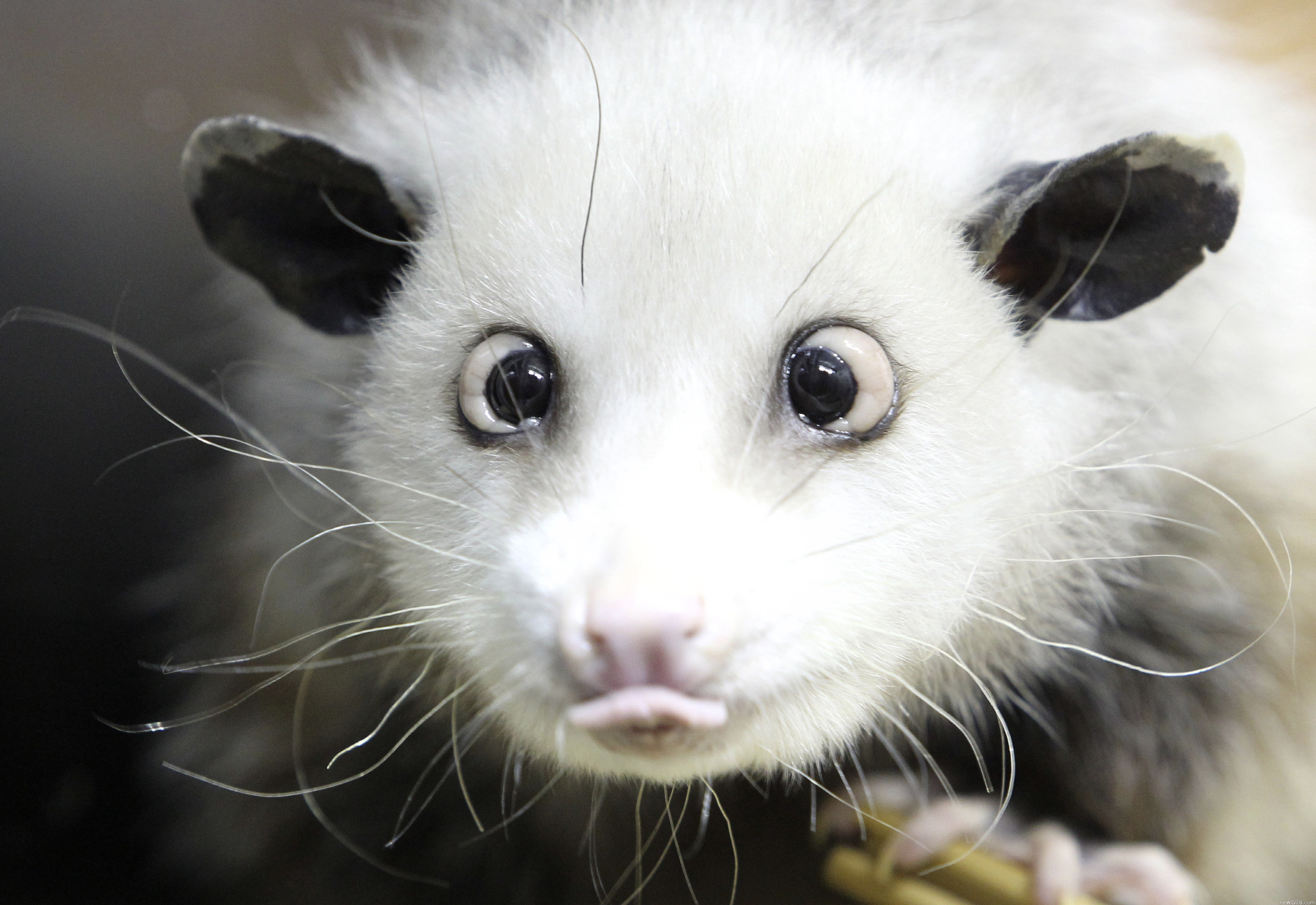 123943 download wallpaper Animals, Opossum, Muzzle, Language, Tongue, Wool screensavers and pictures for free