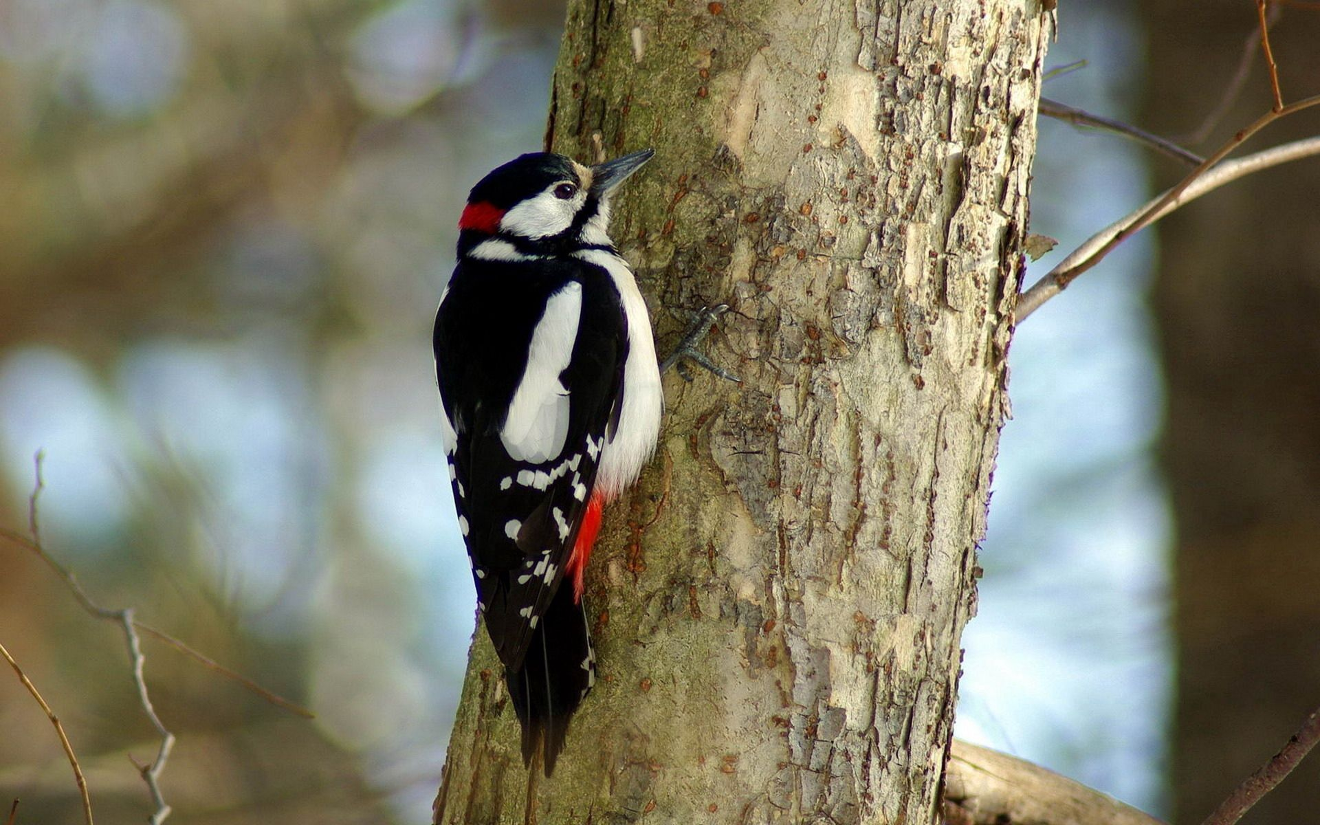 Download mobile wallpaper Woodpecker, Tree, Animals, Bird, Wood for free.