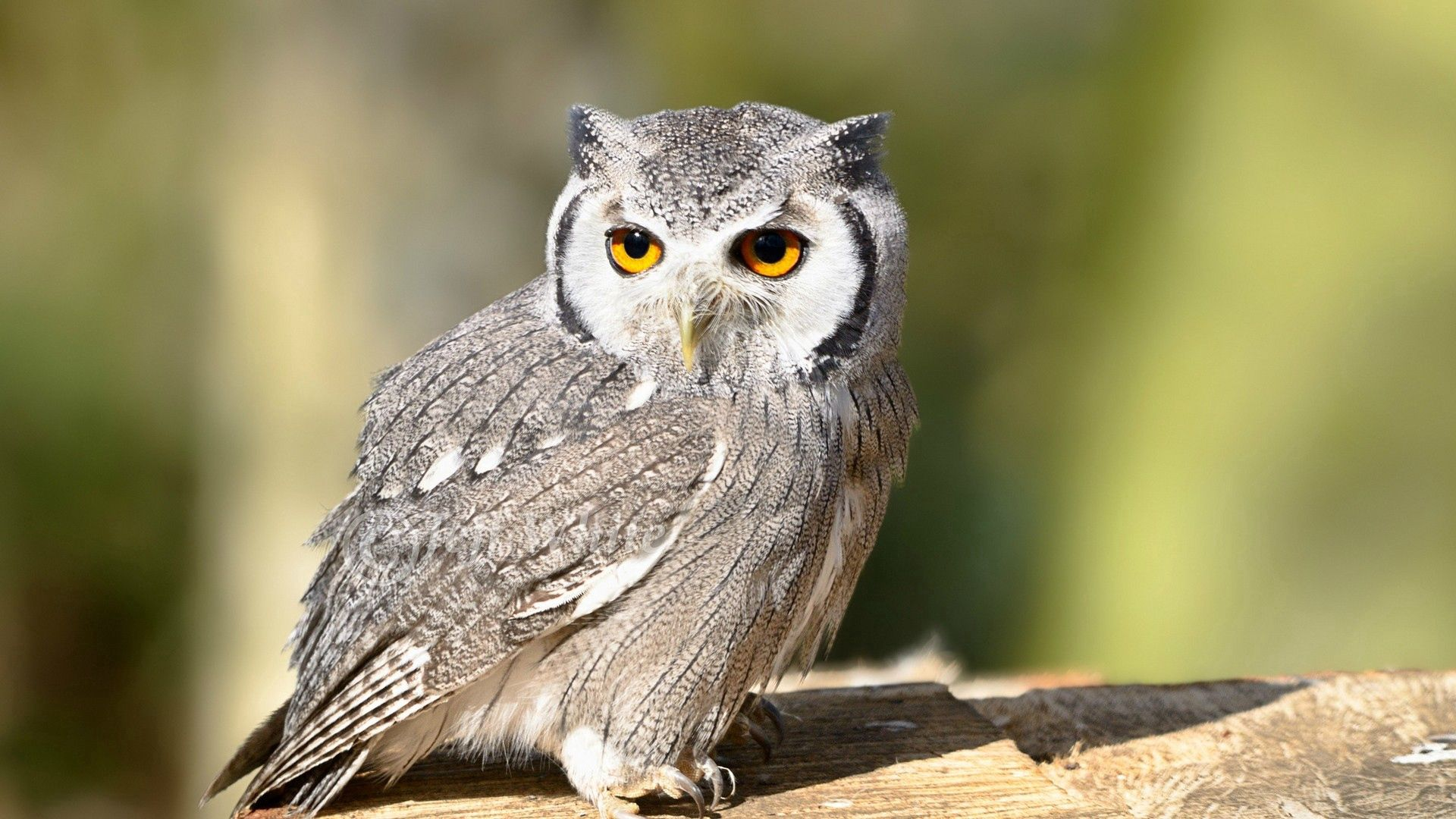 69286 download wallpaper Animals, Owl, Bird, Eyes, Predator screensavers and pictures for free