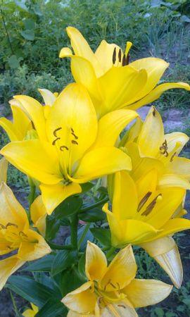 12938 скачать обои Растения, Цветы, Тюльпаны - заставки и картинки бесплатно
