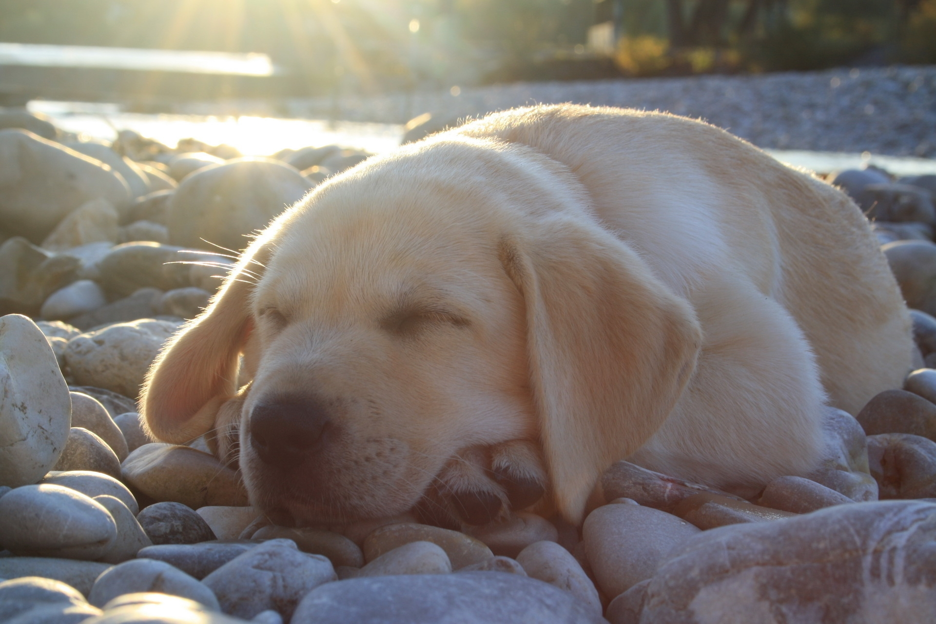 145319 download wallpaper Animals, Dog, Muzzle, Sleep, Dream, Labrador, Nice, Sweetheart screensavers and pictures for free