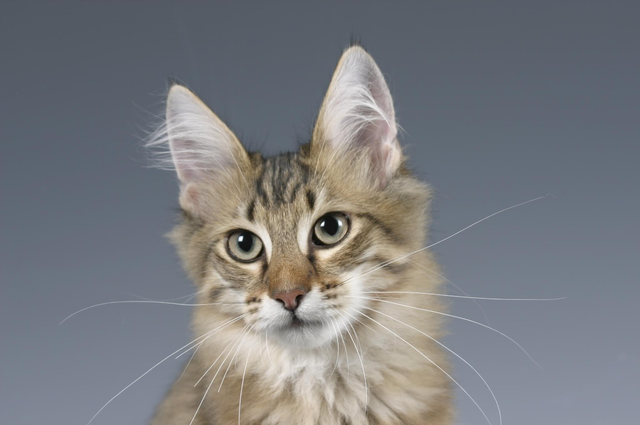 59201 download wallpaper Animals, Cat, Muzzle, Fluffy, Ears, Sight, Opinion screensavers and pictures for free