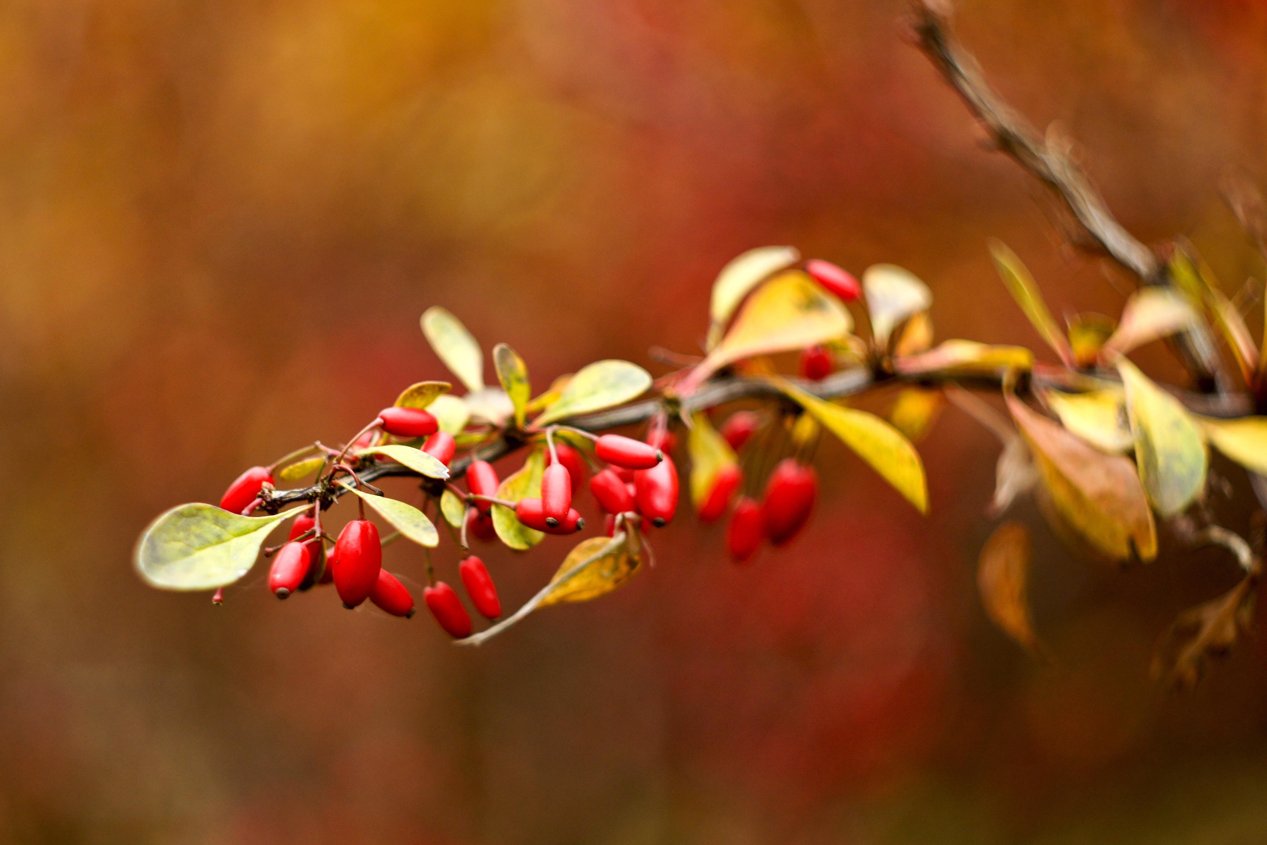 101833 скачать обои Природа, Шиповник, Осень, Ветка, Размытость - заставки и картинки бесплатно