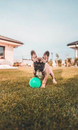 108570 download wallpaper Animals, French Bulldog, Dog, Funny screensavers and pictures for free