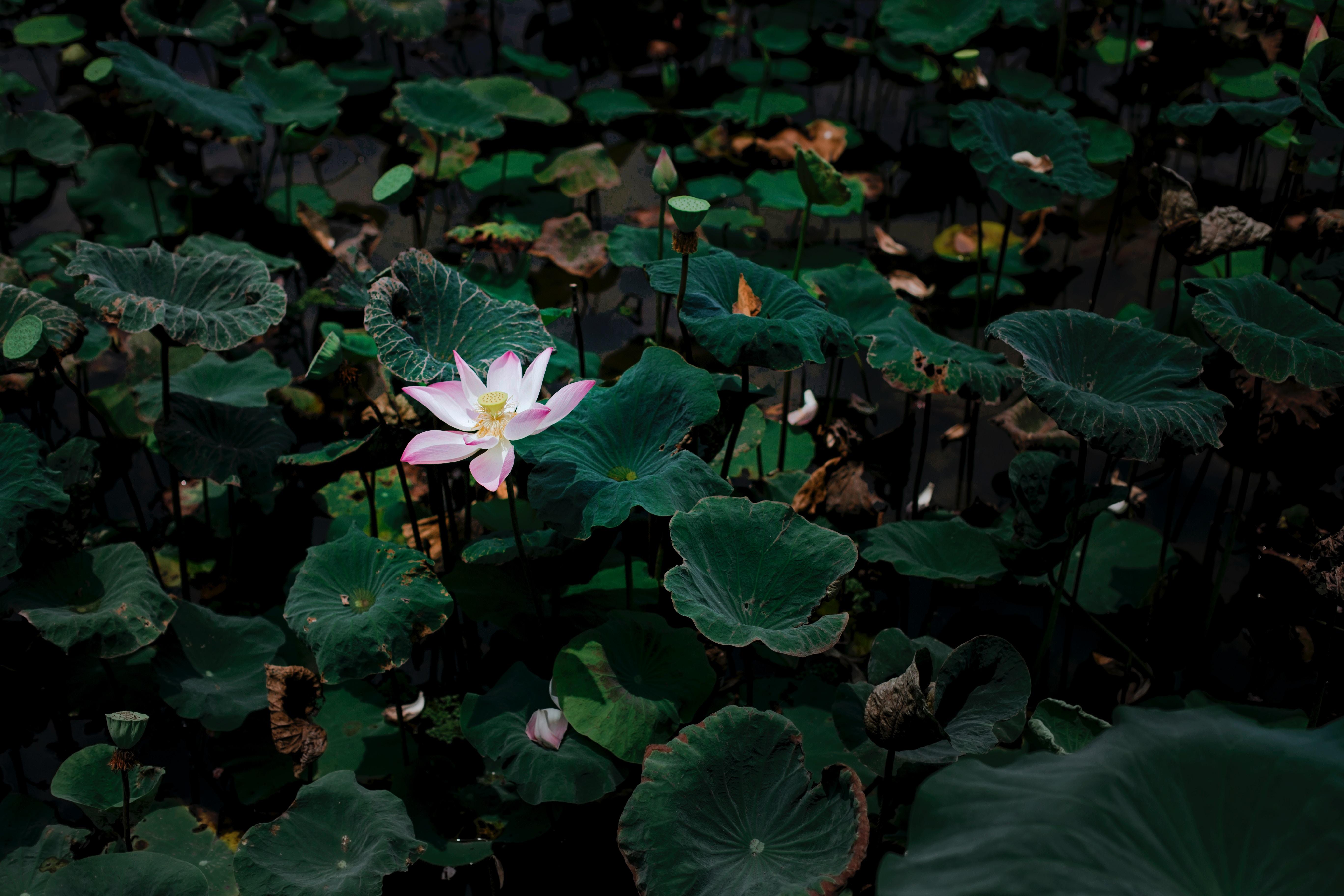 101425 Hintergrundbild 240x400 kostenlos auf deinem Handy, lade Bilder Blumen, Blätter, Lotus, See, Blume 240x400 auf dein Handy herunter