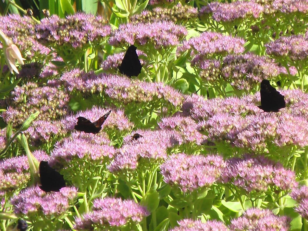 Handy-Wallpaper Pflanzen, Schmetterlinge, Blumen, Hintergrund kostenlos herunterladen.
