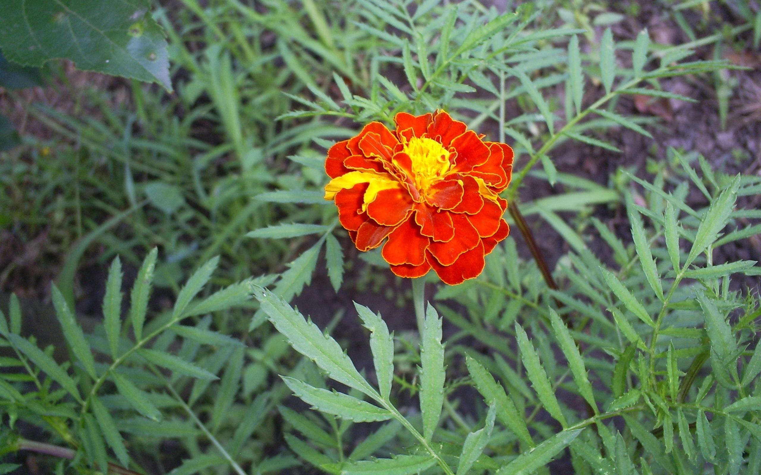 5459 скачать обои Растения, Цветы - заставки и картинки бесплатно