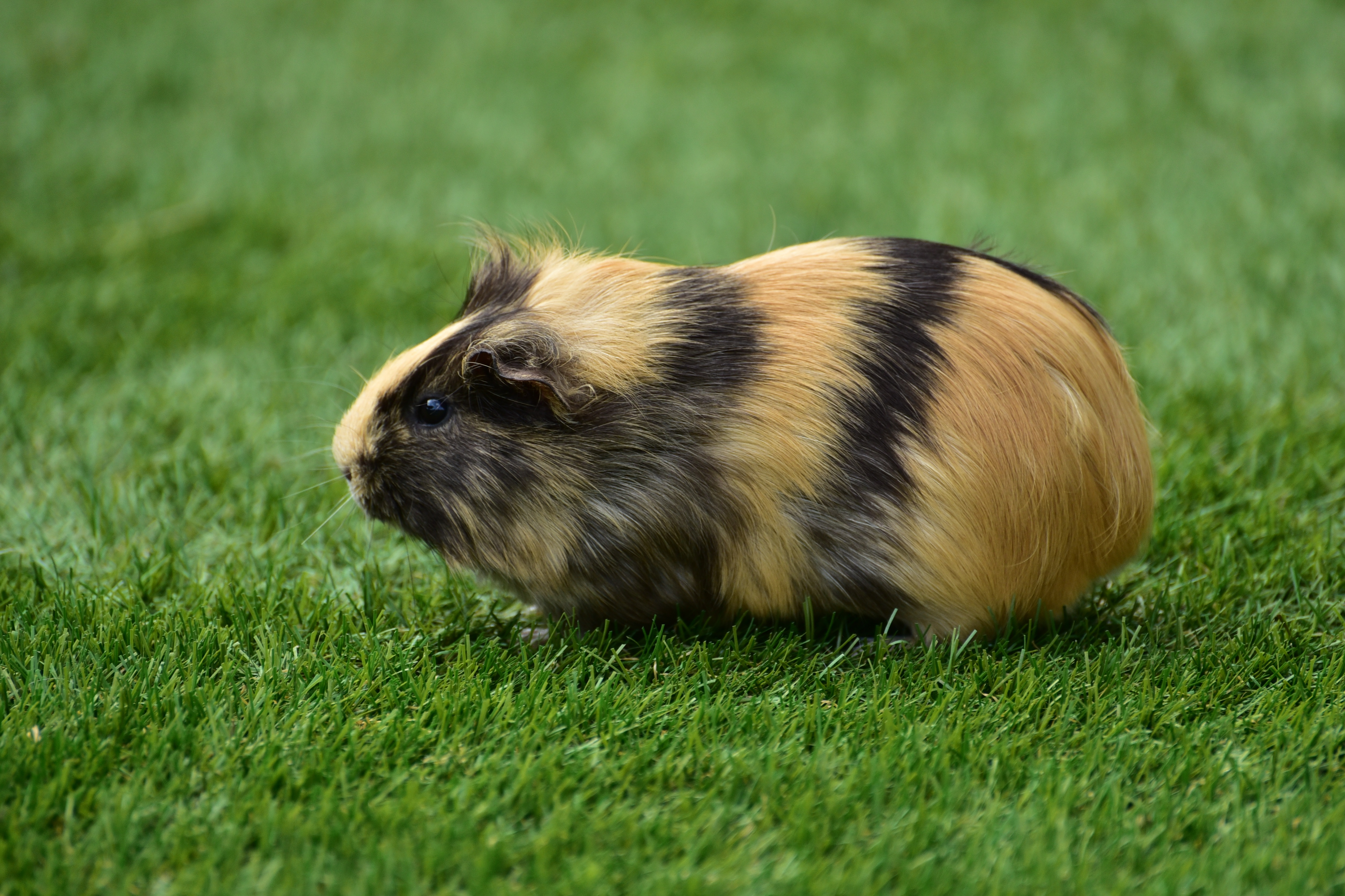112705 download wallpaper Animals, Guinea Pig, Grass, Rodent screensavers and pictures for free