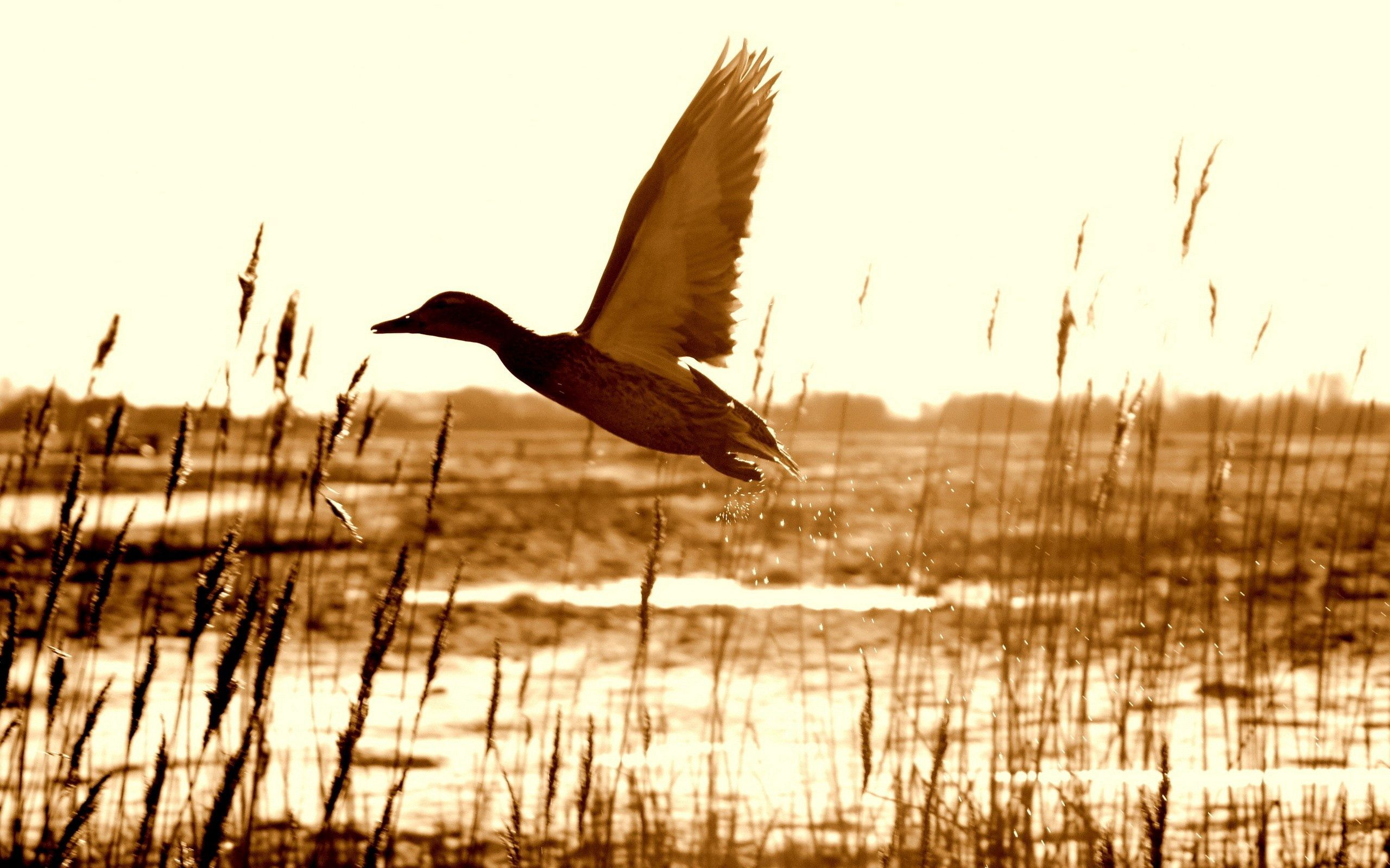 66597 download wallpaper Animals, Duck, Lake, Grass, Flight screensavers and pictures for free