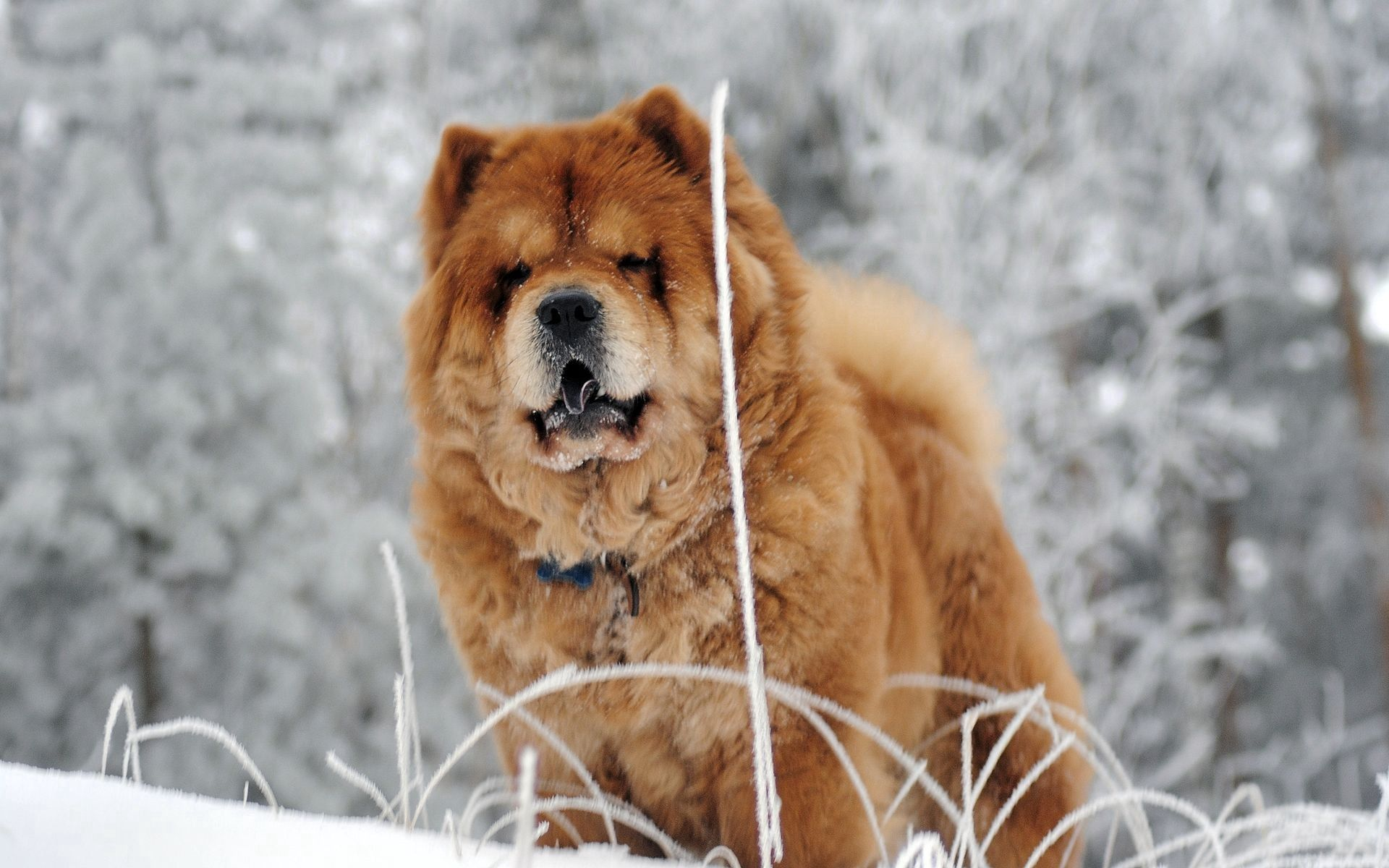 157728 download wallpaper Animals, Chow Chow, Dog, Muzzle, Fat, Thick screensavers and pictures for free