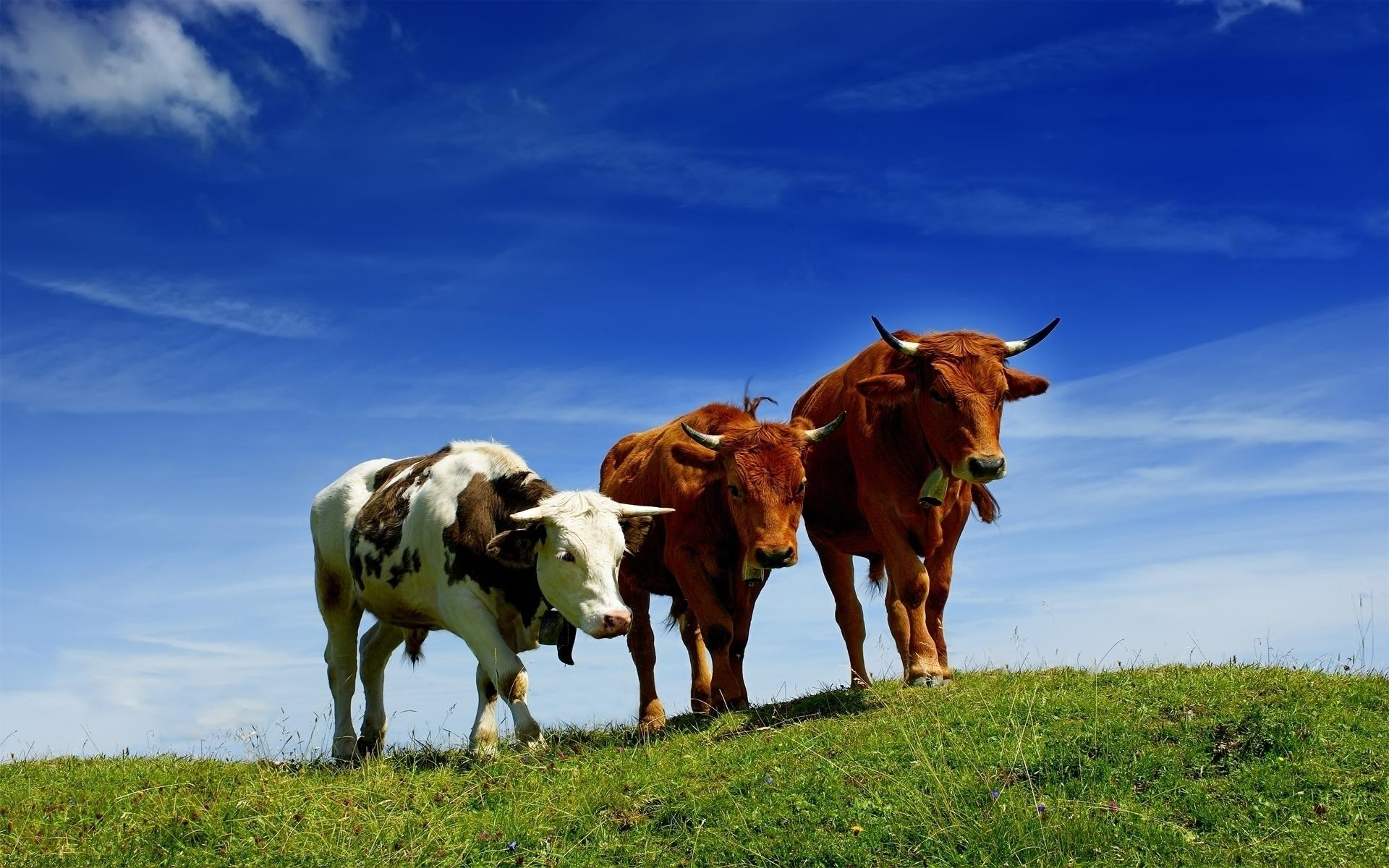 24233 скачать обои Животные, Трава, Коровы - заставки и картинки бесплатно